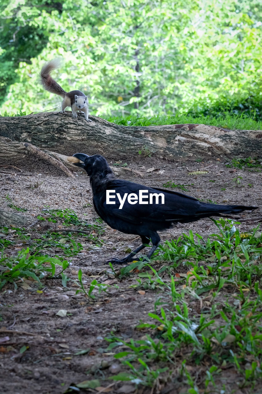 animal, animal themes, animal wildlife, animals in the wild, one animal, bird, vertebrate, plant, black color, land, tree, nature, no people, day, field, outdoors, green color, selective focus, crow, forest
