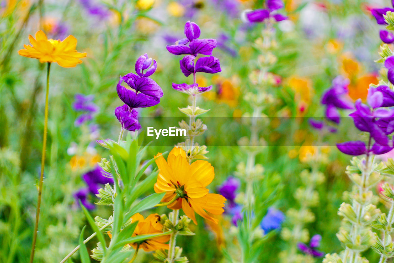 flowering plant, flower, plant, freshness, fragility, vulnerability, beauty in nature, growth, purple, close-up, petal, no people, flower head, nature, focus on foreground, inflorescence, day, field, selective focus, yellow