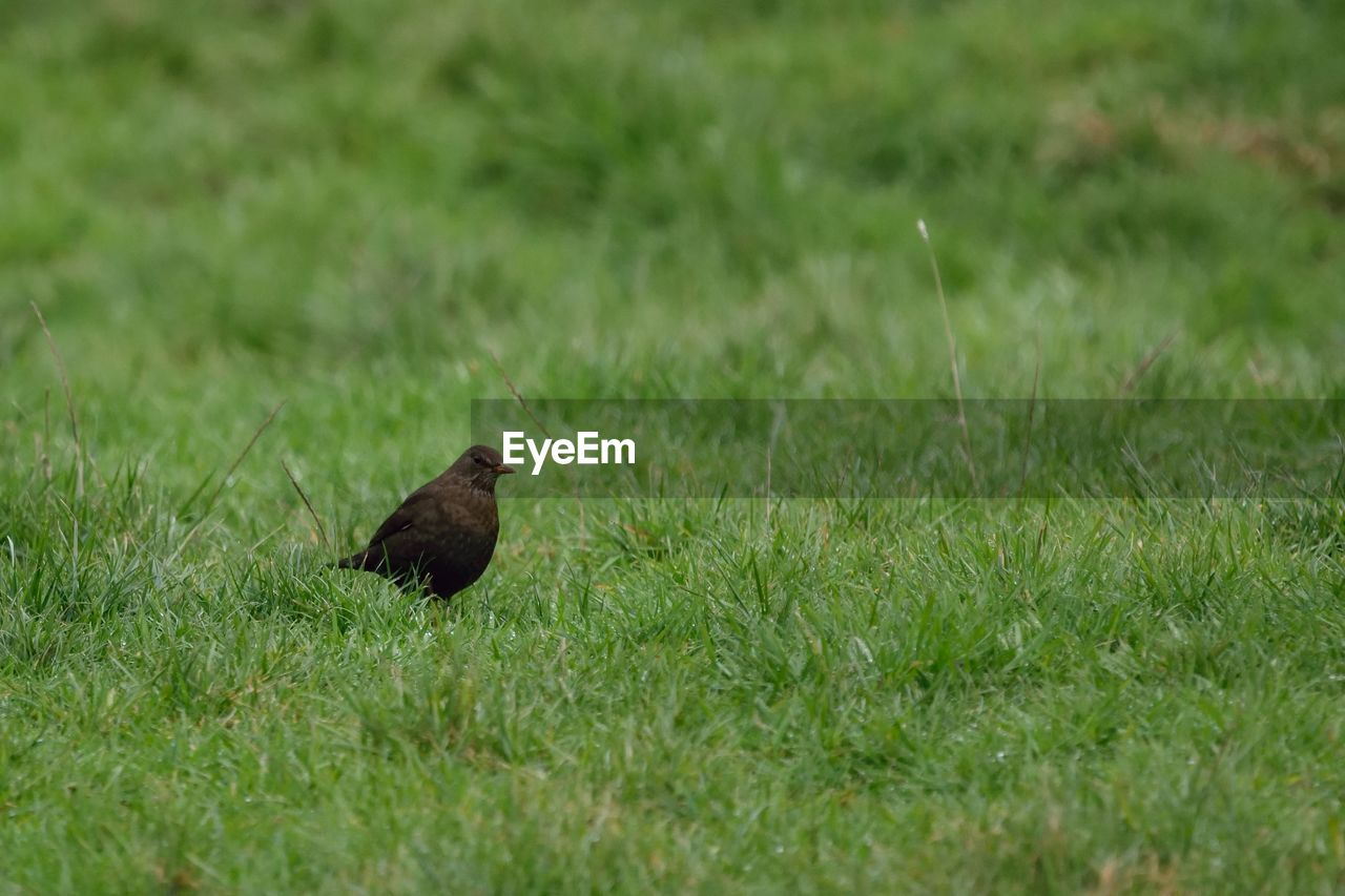 animal themes, one animal, animal wildlife, animal, animals in the wild, plant, grass, vertebrate, bird, green color, field, land, nature, selective focus, day, no people, perching, growth, blackbird, outdoors