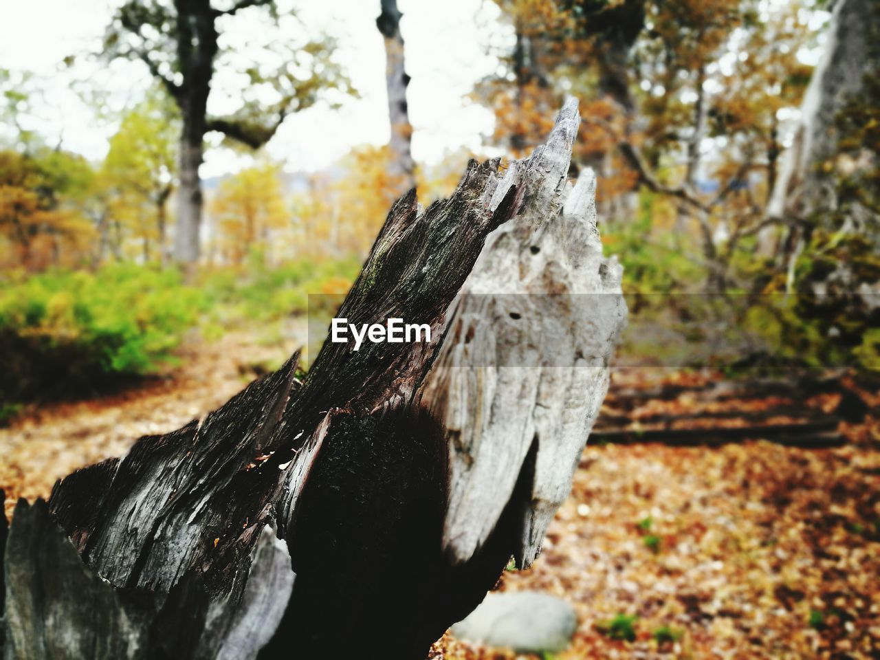tree, tree trunk, nature, focus on foreground, deforestation, day, log, tree stump, outdoors, wood - material, no people, close-up, leaf, branch, beauty in nature, dead tree