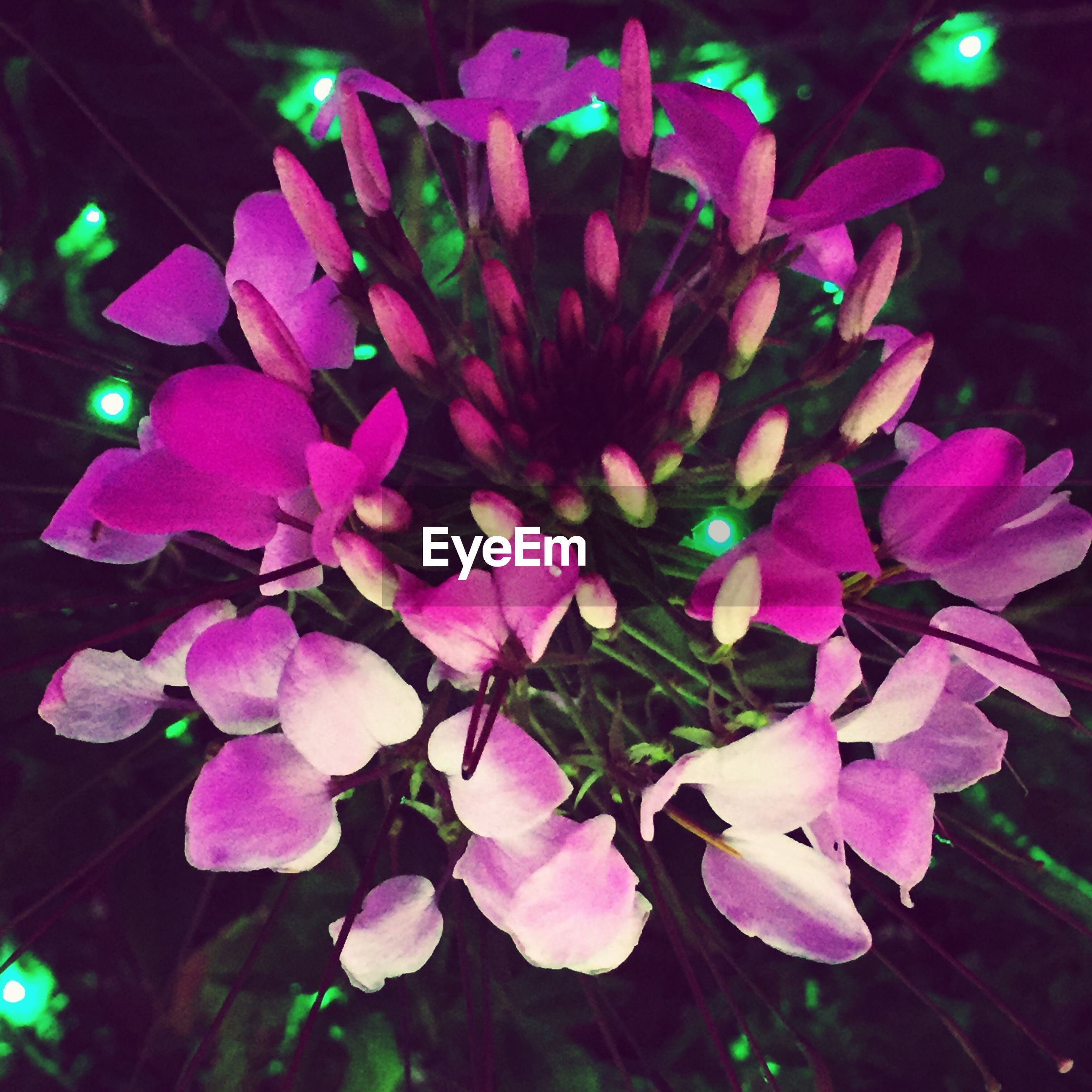 flower, night, freshness, petal, close-up, fragility, pink color, illuminated, growth, indoors, beauty in nature, flower head, nature, plant, focus on foreground, no people, purple, black background, decoration, blooming