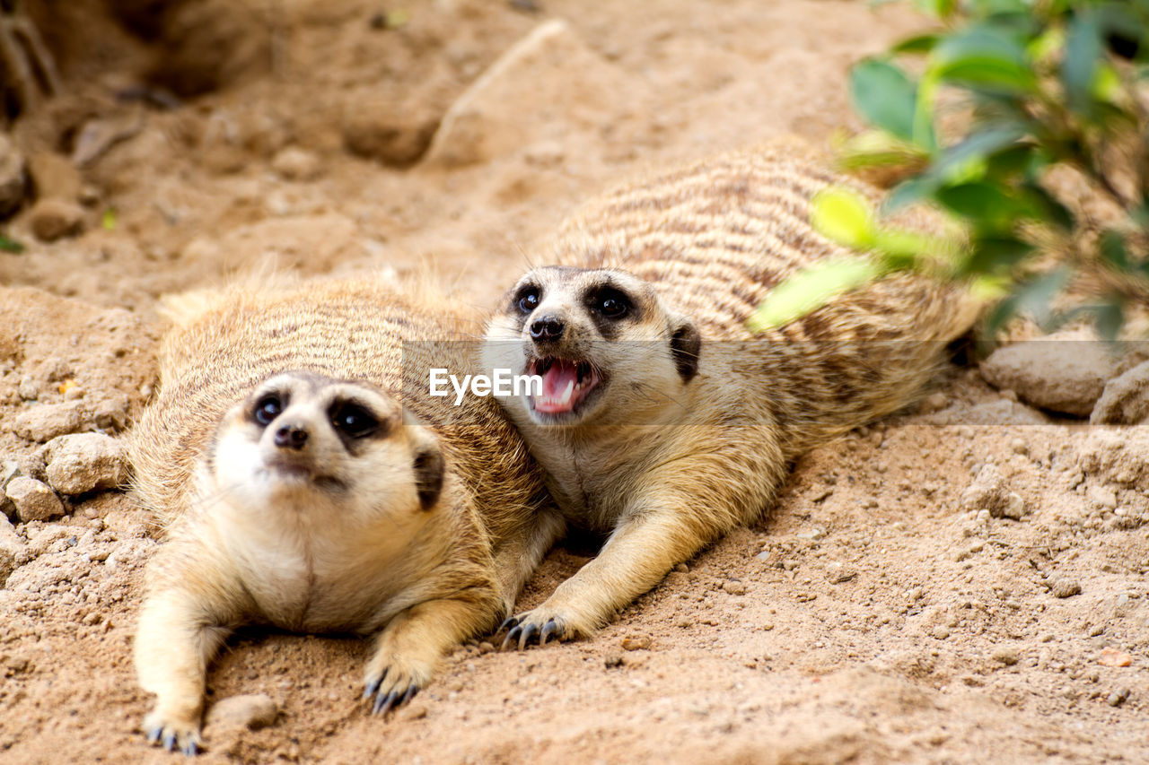 animal themes, animal, mammal, group of animals, meerkat, two animals, animal wildlife, animals in the wild, land, young animal, no people, vertebrate, sand, nature, day, outdoors, portrait, cute, sitting, small, mouth open