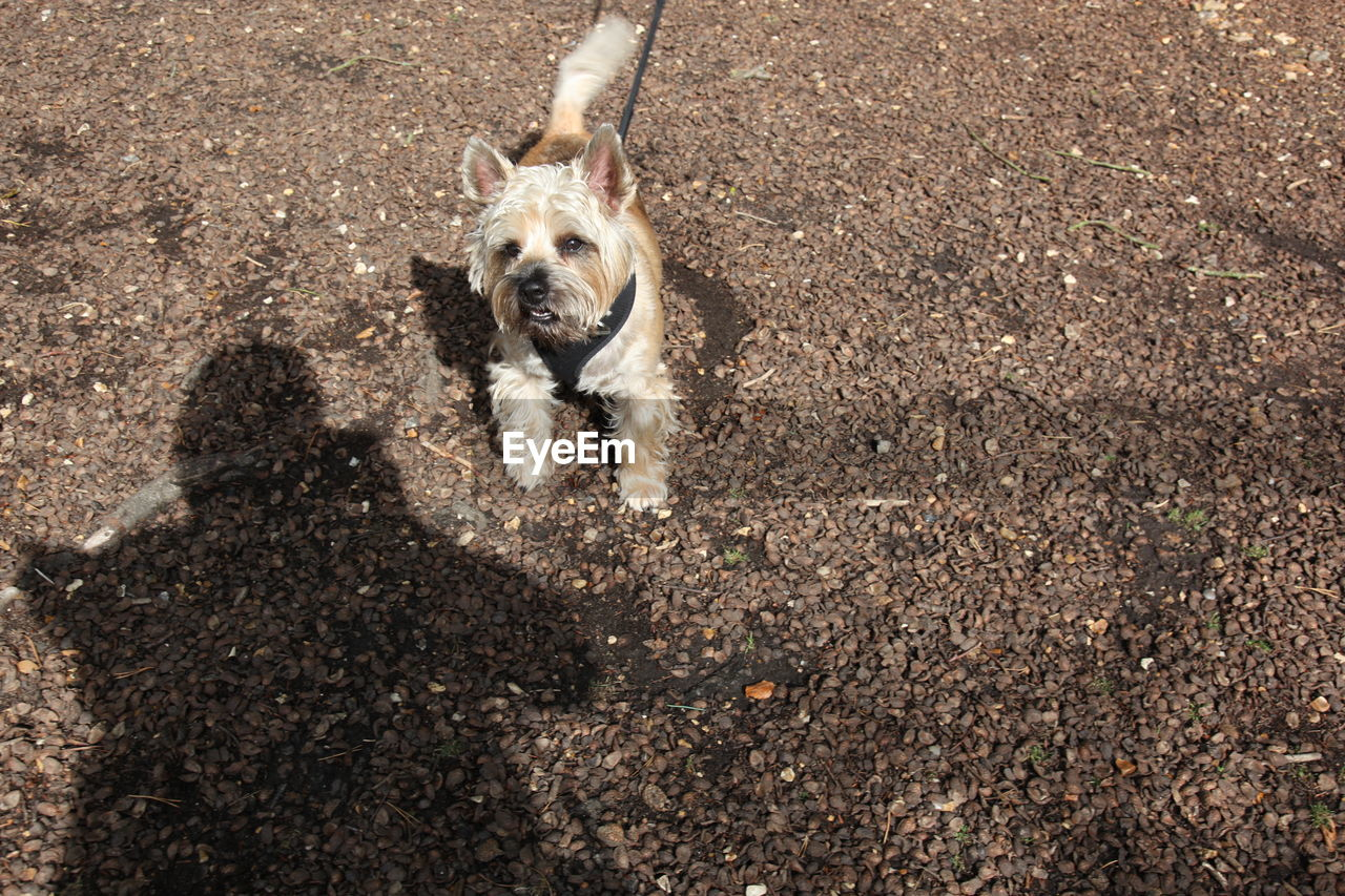 canine, dog, one animal, mammal, domestic, pets, domestic animals, portrait, nature, day, vertebrate, sunlight, people, high angle view, shadow, looking at camera, dirt, land, purebred dog, small