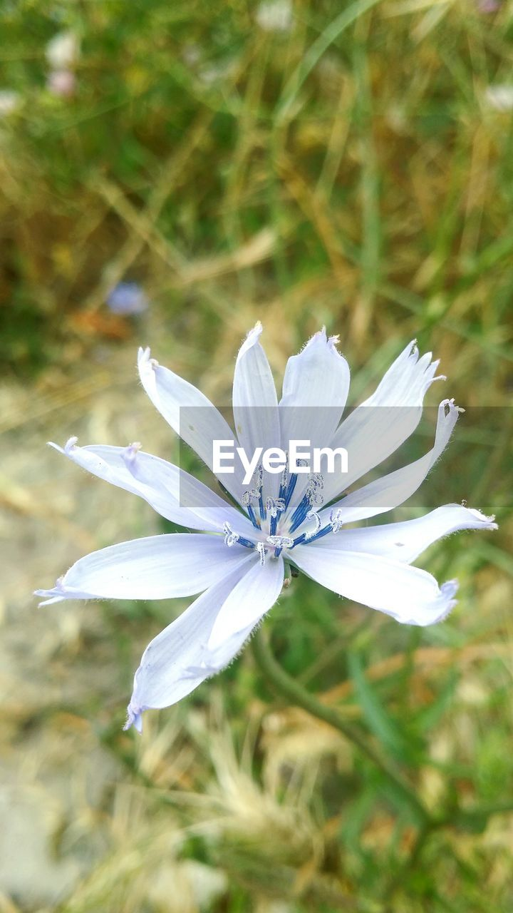 flower, petal, fragility, nature, flower head, growth, white color, beauty in nature, day, focus on foreground, freshness, plant, outdoors, blooming, no people, close-up, high angle view, field, osteospermum, animal themes, passion flower