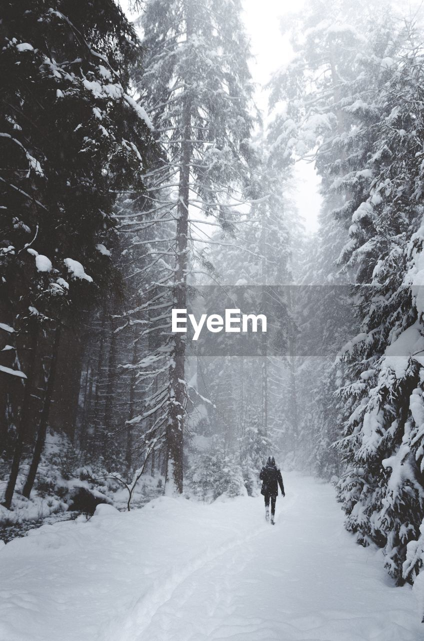 Rear View Of Person Walking Amidst Trees In Forest During Winter
