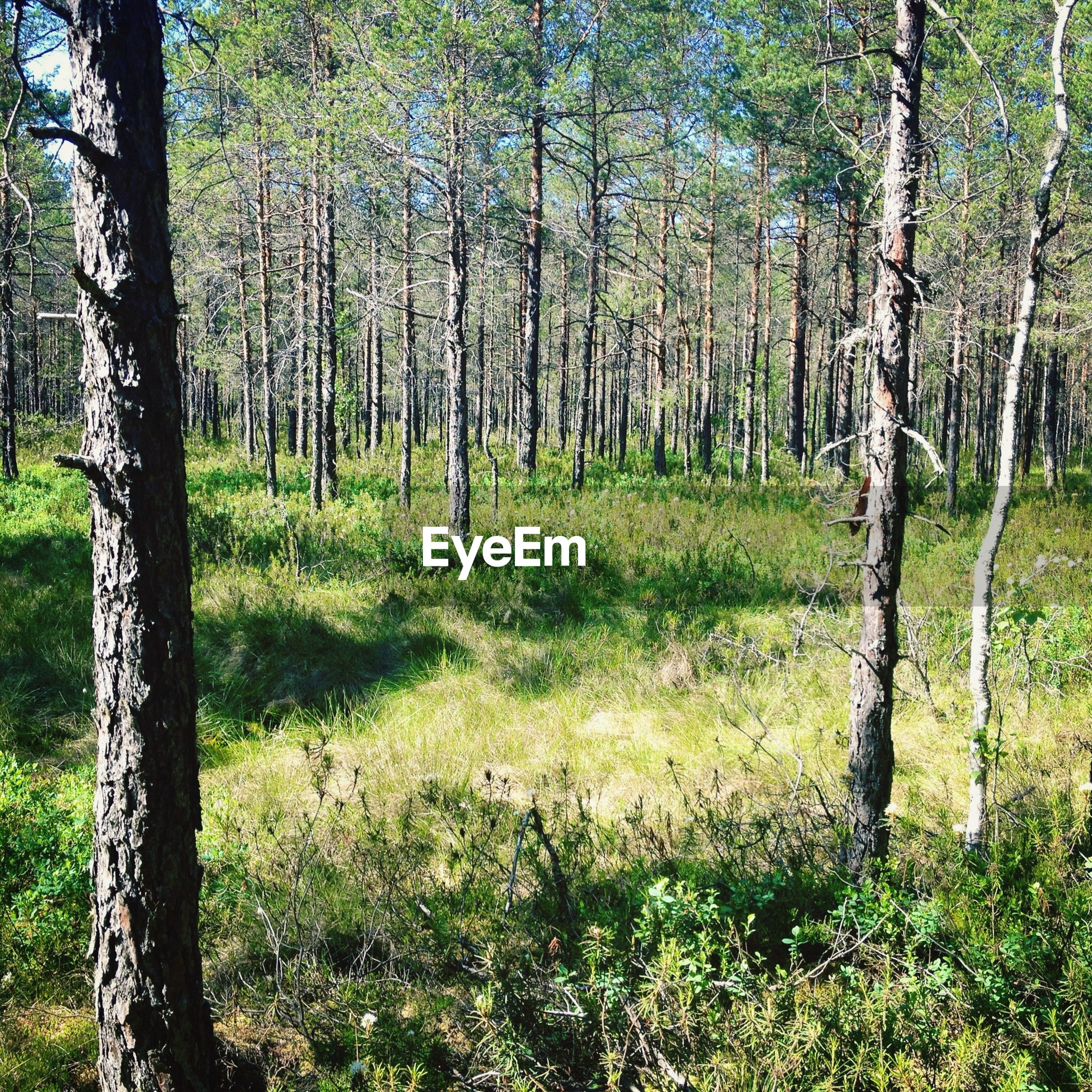 TREES AND GRASS IN FOREST