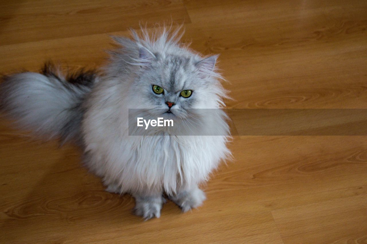 domestic, domestic animals, pets, animal themes, cat, domestic cat, mammal, animal, feline, one animal, indoors, flooring, vertebrate, high angle view, no people, hardwood floor, wood, portrait, home interior, looking at camera, persian cat, whisker, animal eye