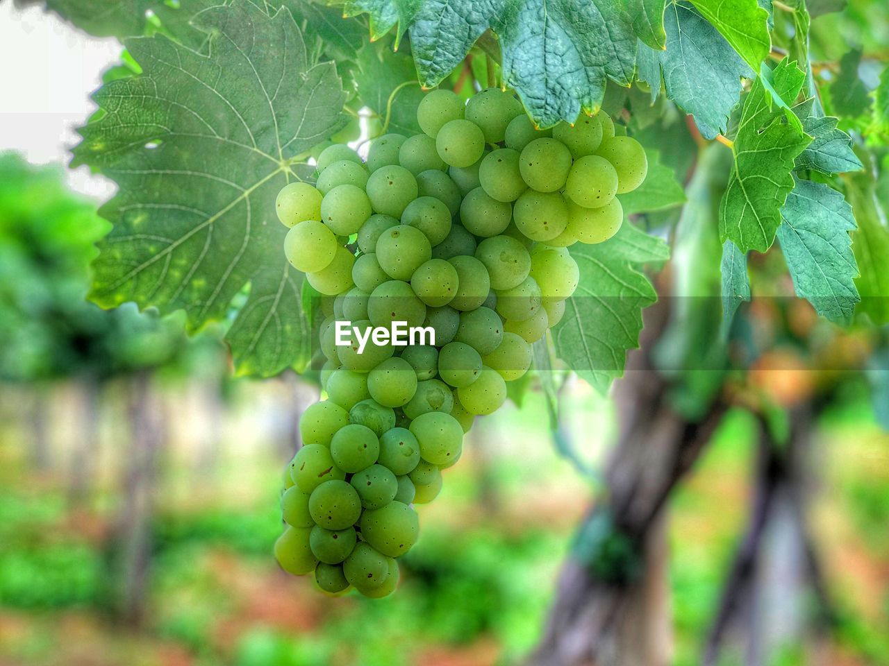green color, growth, food and drink, food, healthy eating, fruit, plant, leaf, plant part, close-up, nature, no people, day, beauty in nature, freshness, focus on foreground, tree, vine, bunch, grape, outdoors, winemaking, plantation