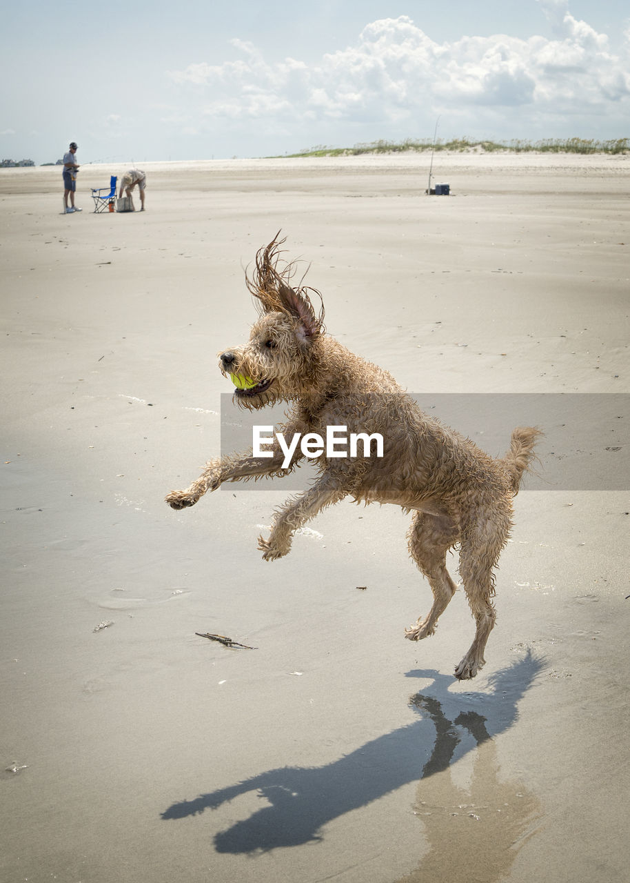 pets, domestic, dog, canine, mammal, domestic animals, animal themes, beach, animal, land, one animal, sand, vertebrate, nature, incidental people, water, sunlight, sea, motion, day, outdoors