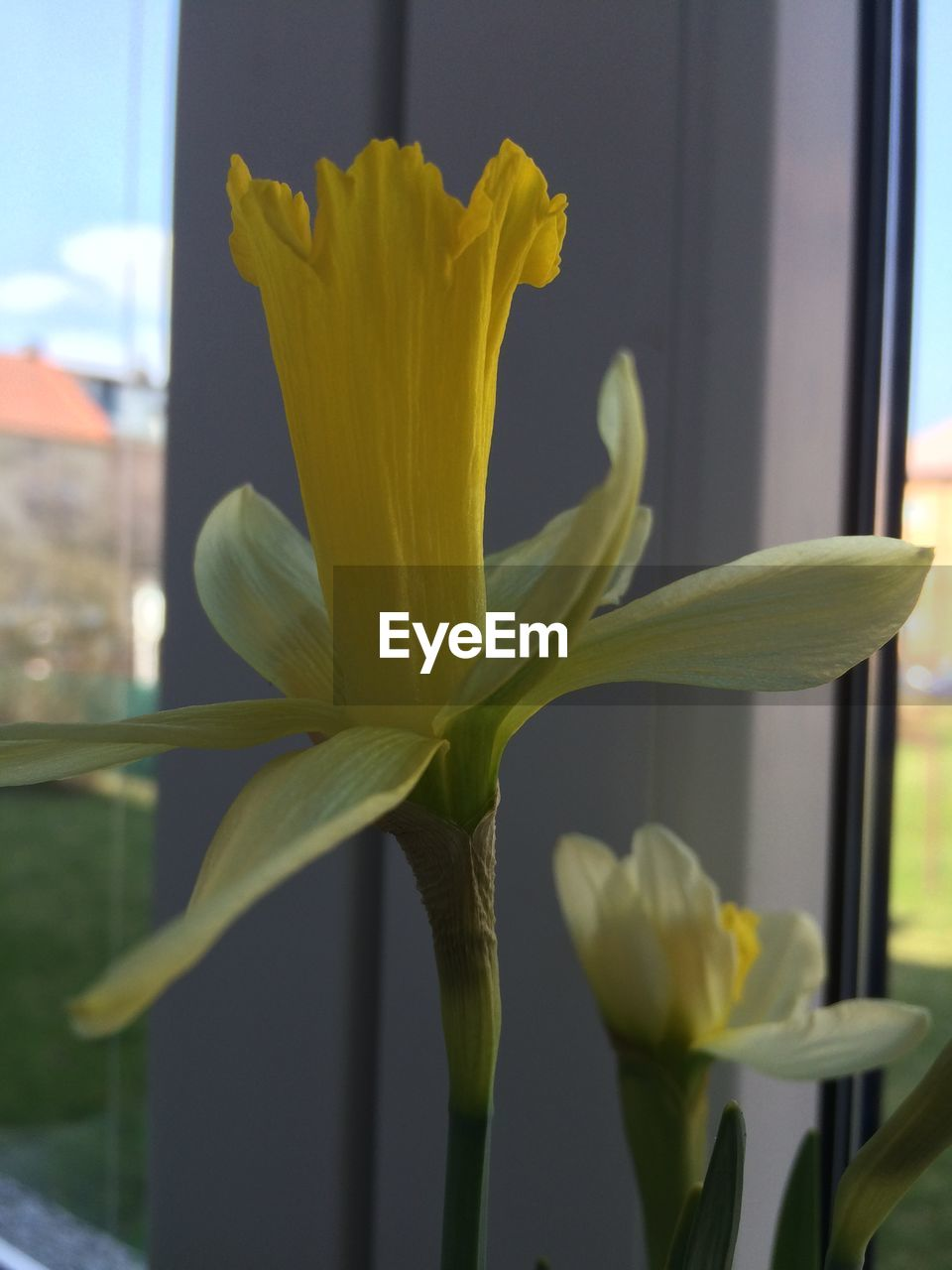 flower, growth, fragility, yellow, petal, plant, freshness, close-up, nature, beauty in nature, flower head, no people, green color, day, indoors, blooming