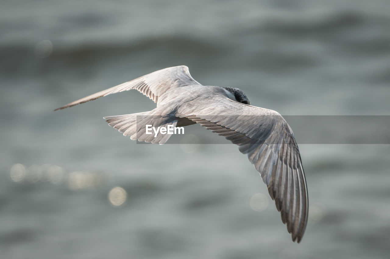 animals in the wild, flying, animal, animal wildlife, one animal, spread wings, animal themes, bird, vertebrate, mid-air, water, focus on foreground, no people, nature, day, motion, outdoors, sea, water bird, seagull