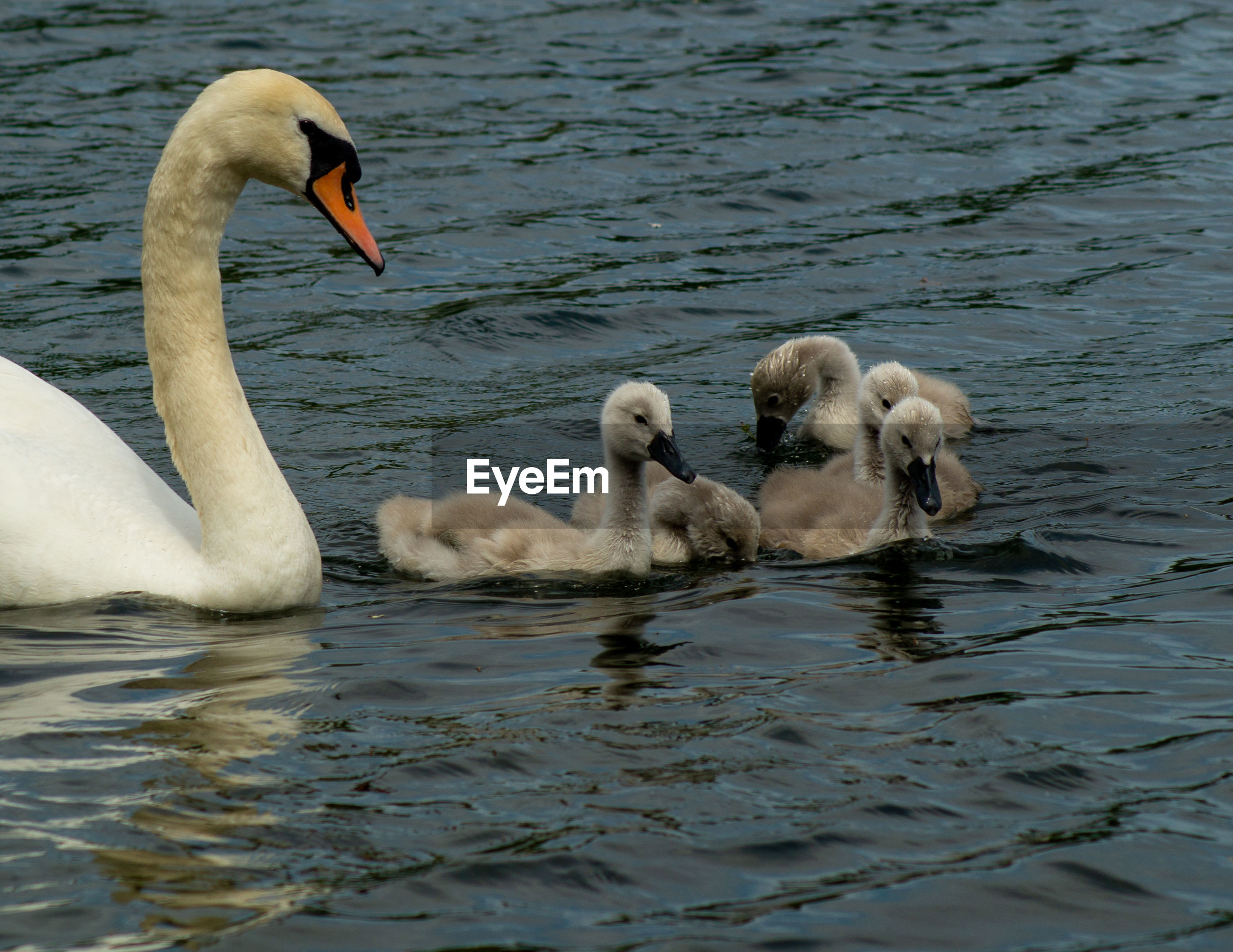 High angle view of large mute swan swans  cygnets swimming in lake with reflection