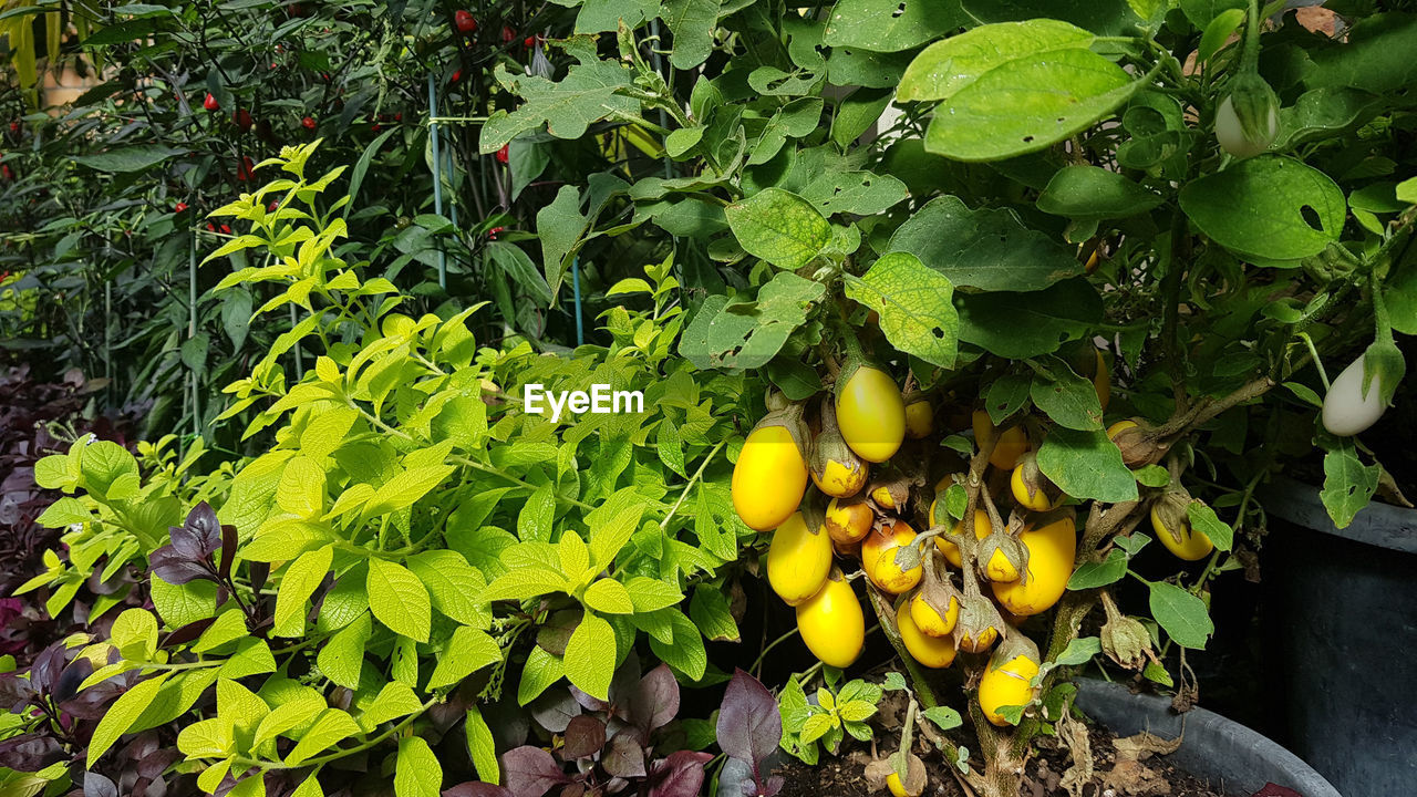 healthy eating, food and drink, leaf, fruit, food, plant part, growth, green color, plant, freshness, wellbeing, nature, day, no people, yellow, close-up, fruit tree, tree, outdoors, citrus fruit, ripe