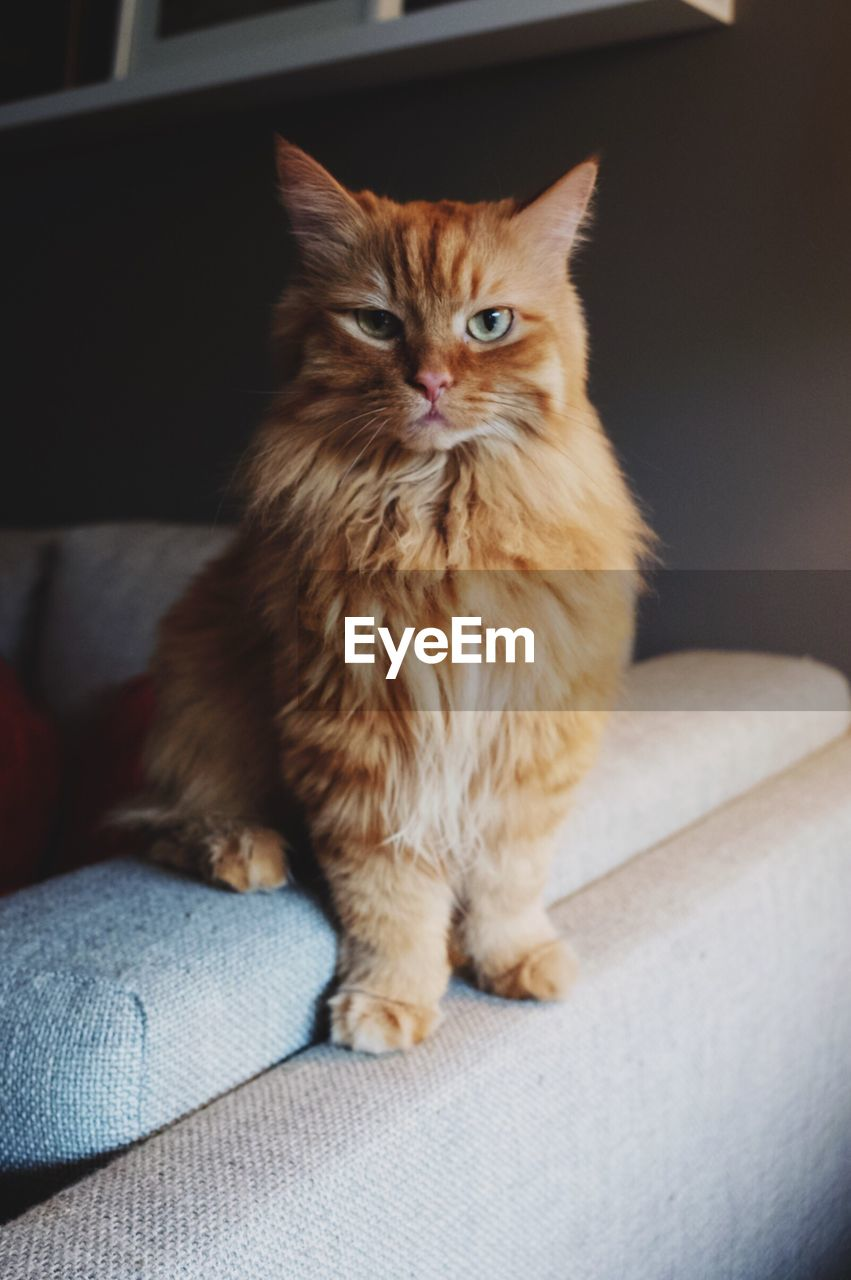 animal themes, mammal, pets, domestic, domestic animals, animal, one animal, vertebrate, cat, feline, domestic cat, furniture, portrait, looking at camera, sofa, indoors, sitting, no people, home interior, relaxation, whisker, ginger cat