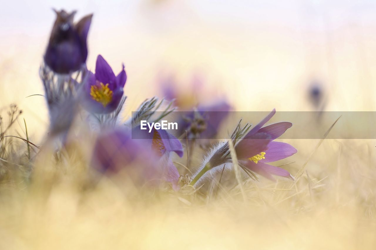 flowering plant, flower, plant, selective focus, fragility, vulnerability, beauty in nature, growth, freshness, nature, field, close-up, land, petal, no people, flower head, inflorescence, purple, outdoors, day
