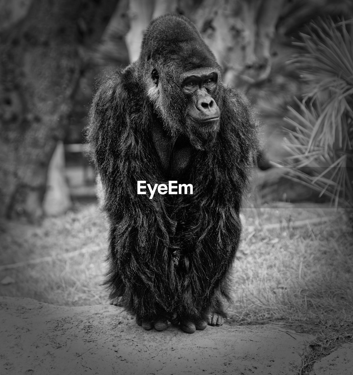 one animal, animal themes, mammal, no people, animals in the wild, outdoors, full length, monkey, day, gorilla, nature