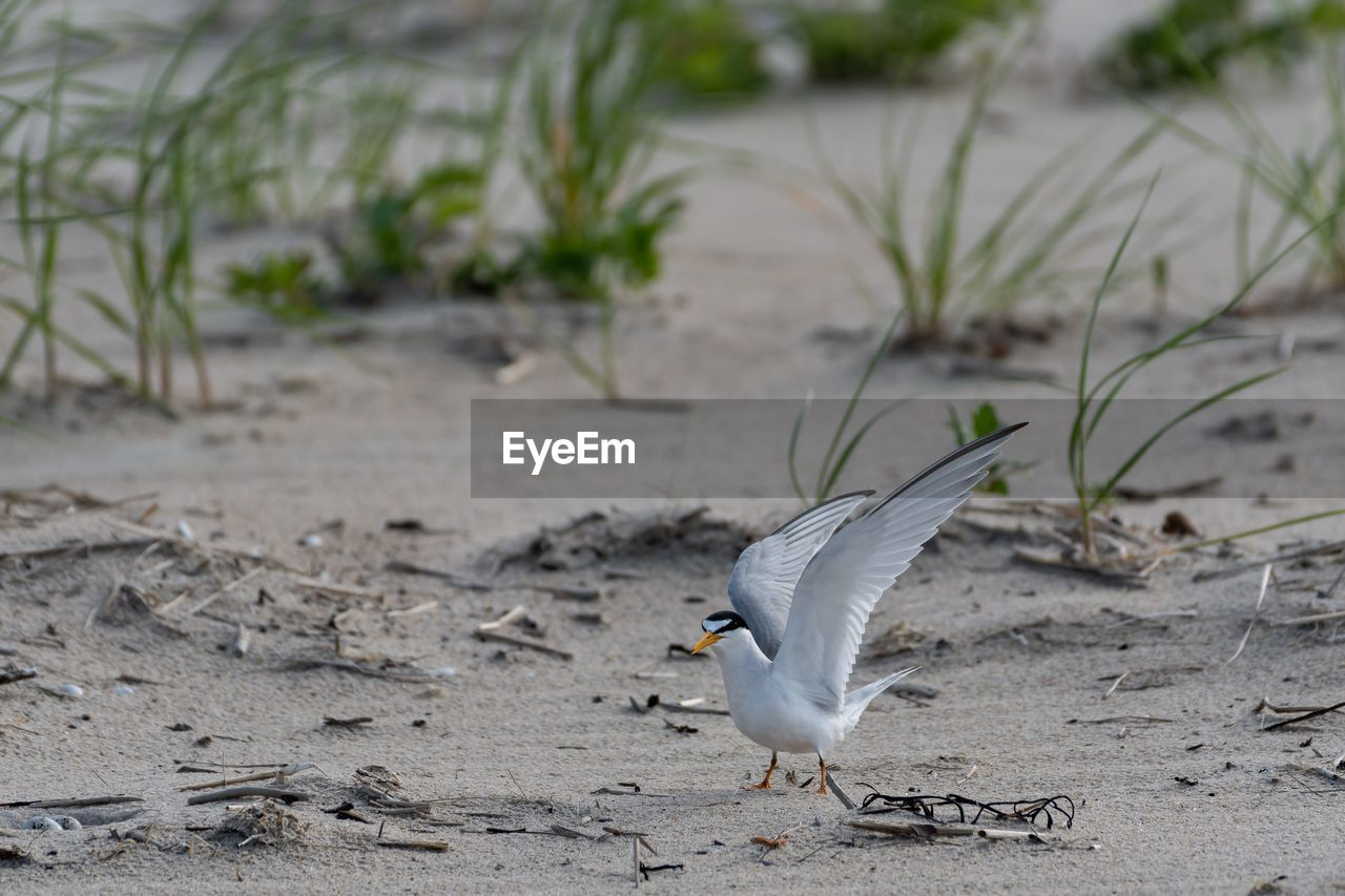 animal themes, animal, animal wildlife, one animal, vertebrate, animals in the wild, bird, focus on foreground, land, sand, no people, nature, day, beach, field, outdoors, spread wings, plant, seagull, zoology