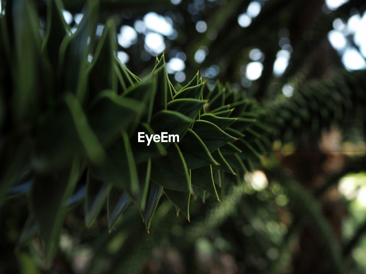 plant, growth, green color, leaf, plant part, beauty in nature, tree, nature, close-up, day, selective focus, no people, focus on foreground, tranquility, outdoors, branch, freshness, green, fragility, pine tree, leaves, spiky, coniferous tree
