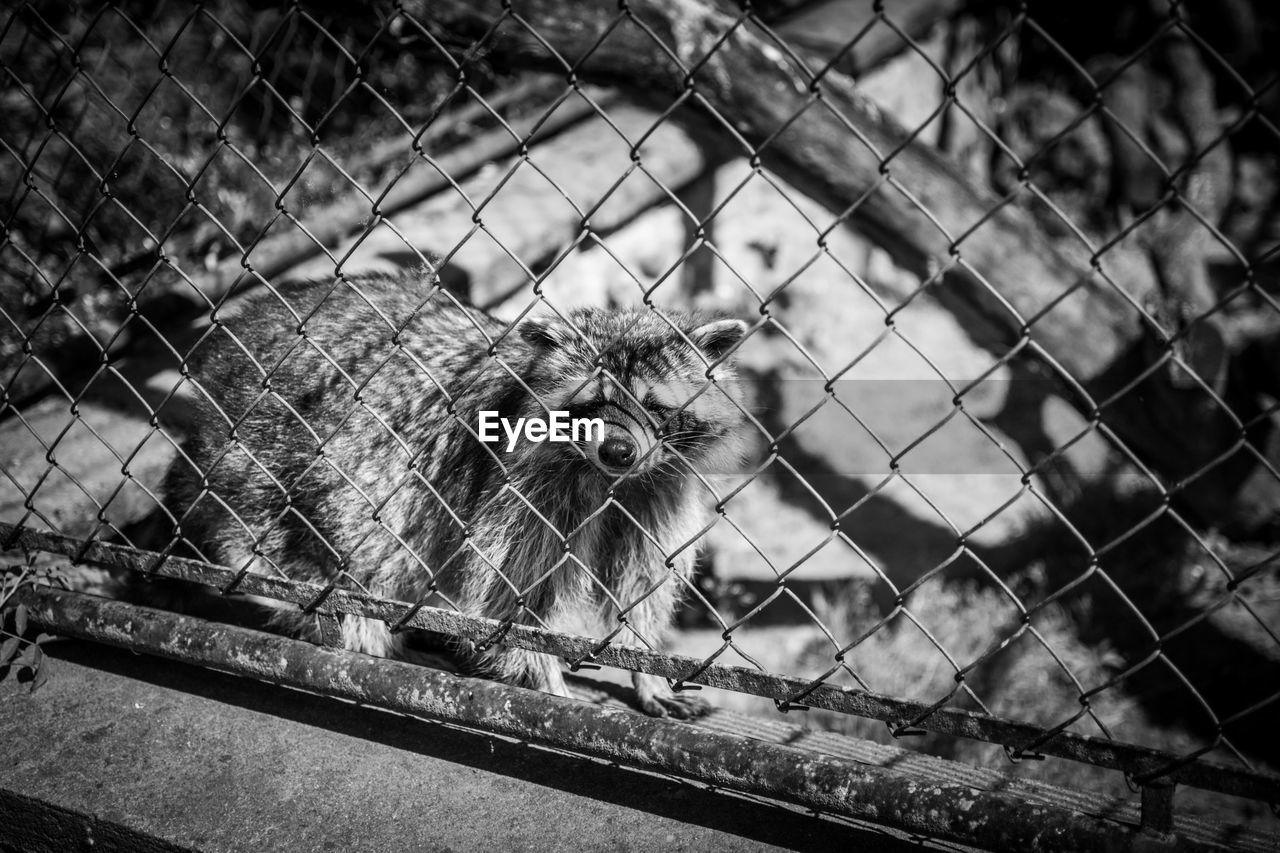 Raccoon Behind Chainlink Fence In Zoo