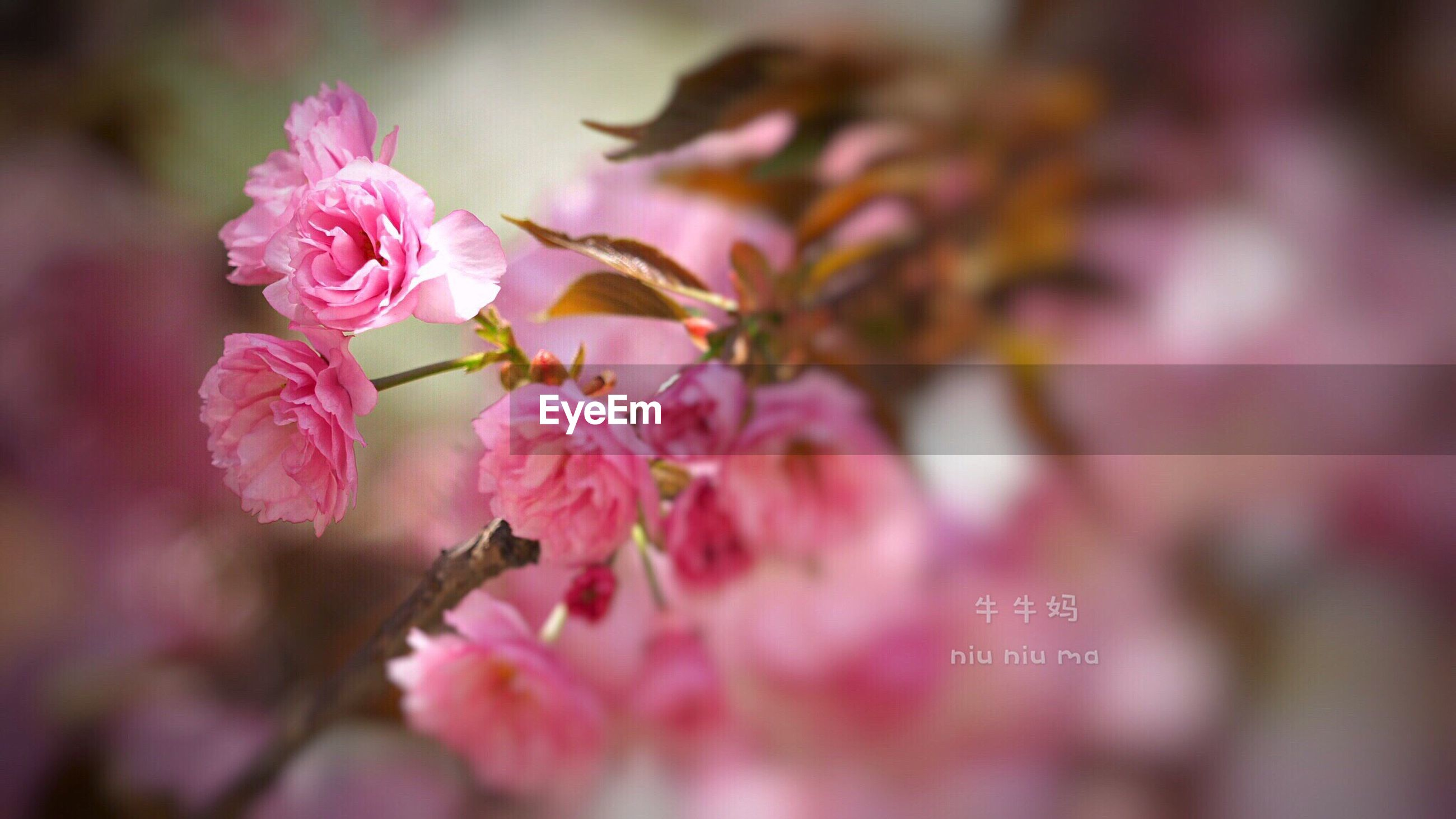 flower, pink color, fragility, freshness, nature, beauty in nature, growth, petal, close-up, plant, focus on foreground, no people, flower head, day, outdoors, plum blossom, rhododendron