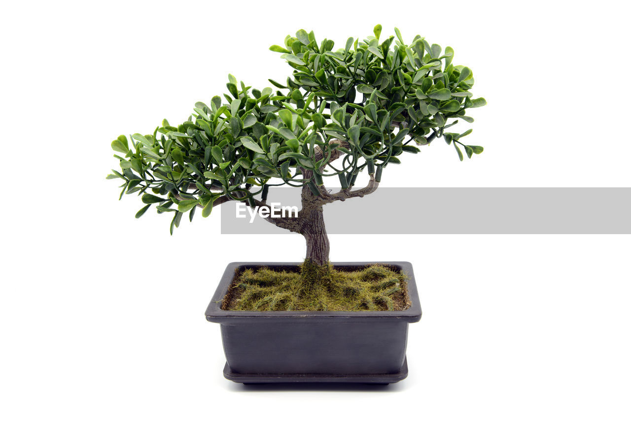 plant, growth, potted plant, bonsai tree, white background, green color, tree, indoors, nature, cut out, no people, studio shot, plant part, botany, beauty in nature, leaf, close-up, copy space, flower pot, small, houseplant, gardening