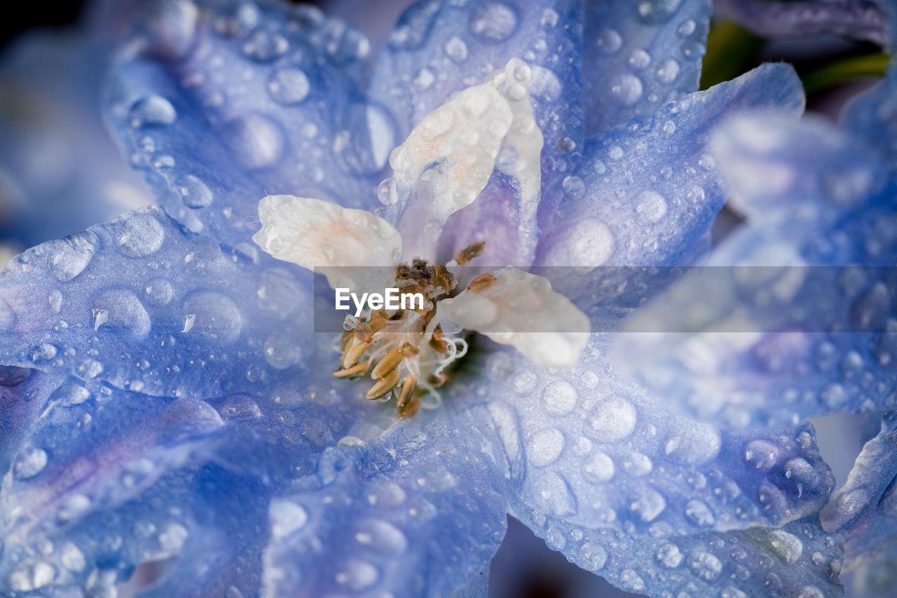 Water drops on delphinium staphisagria