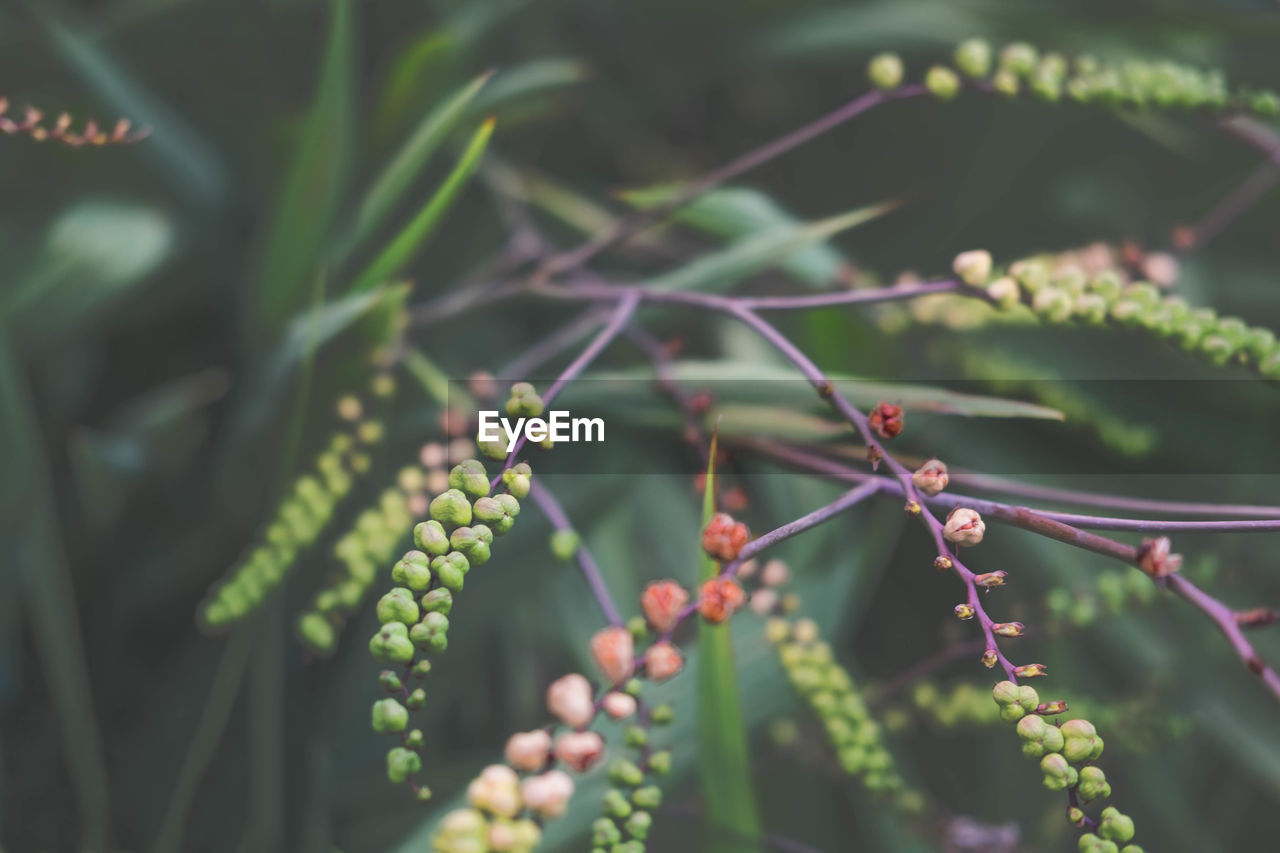 Close-up of berries growing on plant