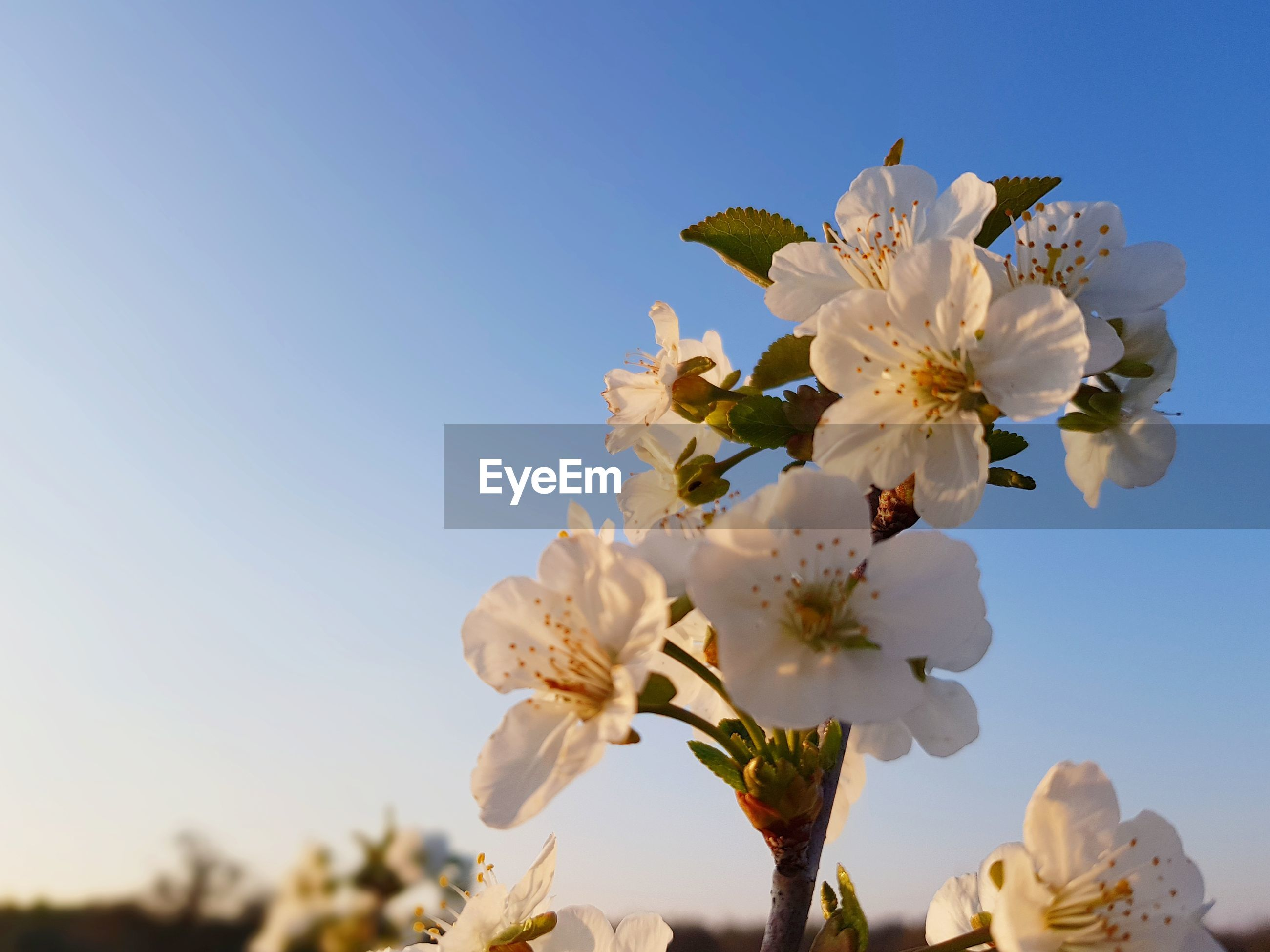 Close-up of cherry blossoms against clear sky