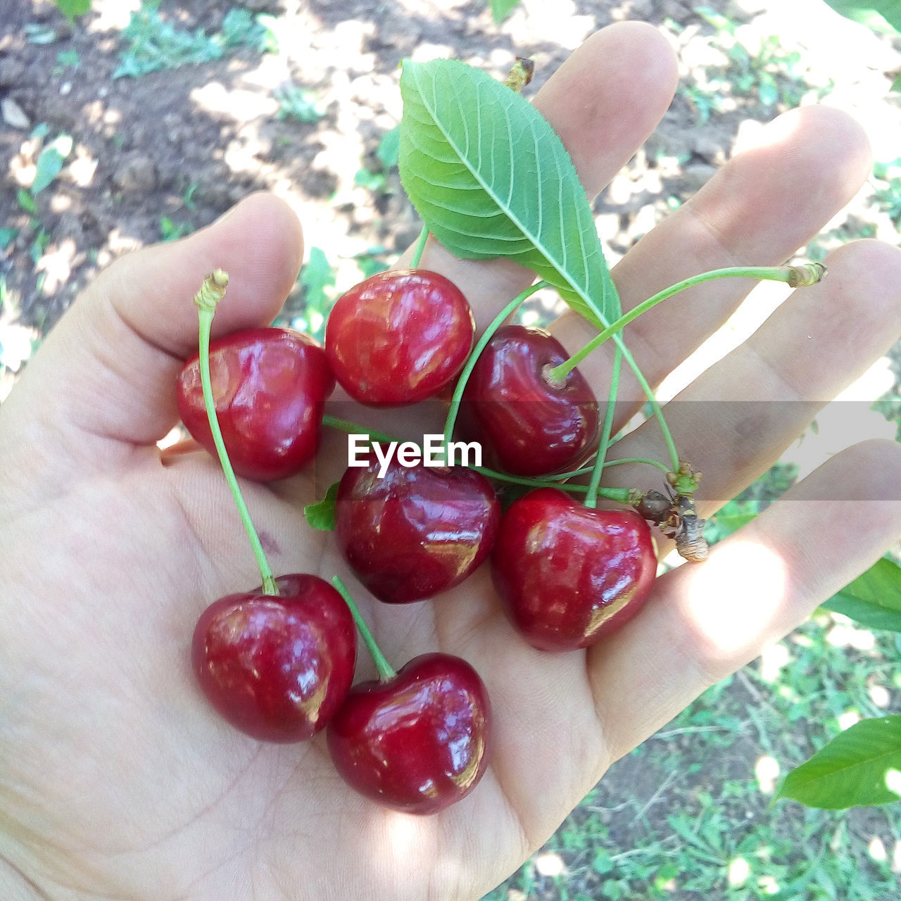 human hand, human body part, one person, human finger, real people, food and drink, unrecognizable person, holding, food, outdoors, close-up, healthy eating, freshness, fruit, red, day, lifestyles, leisure activity, women, leaf, nature, people
