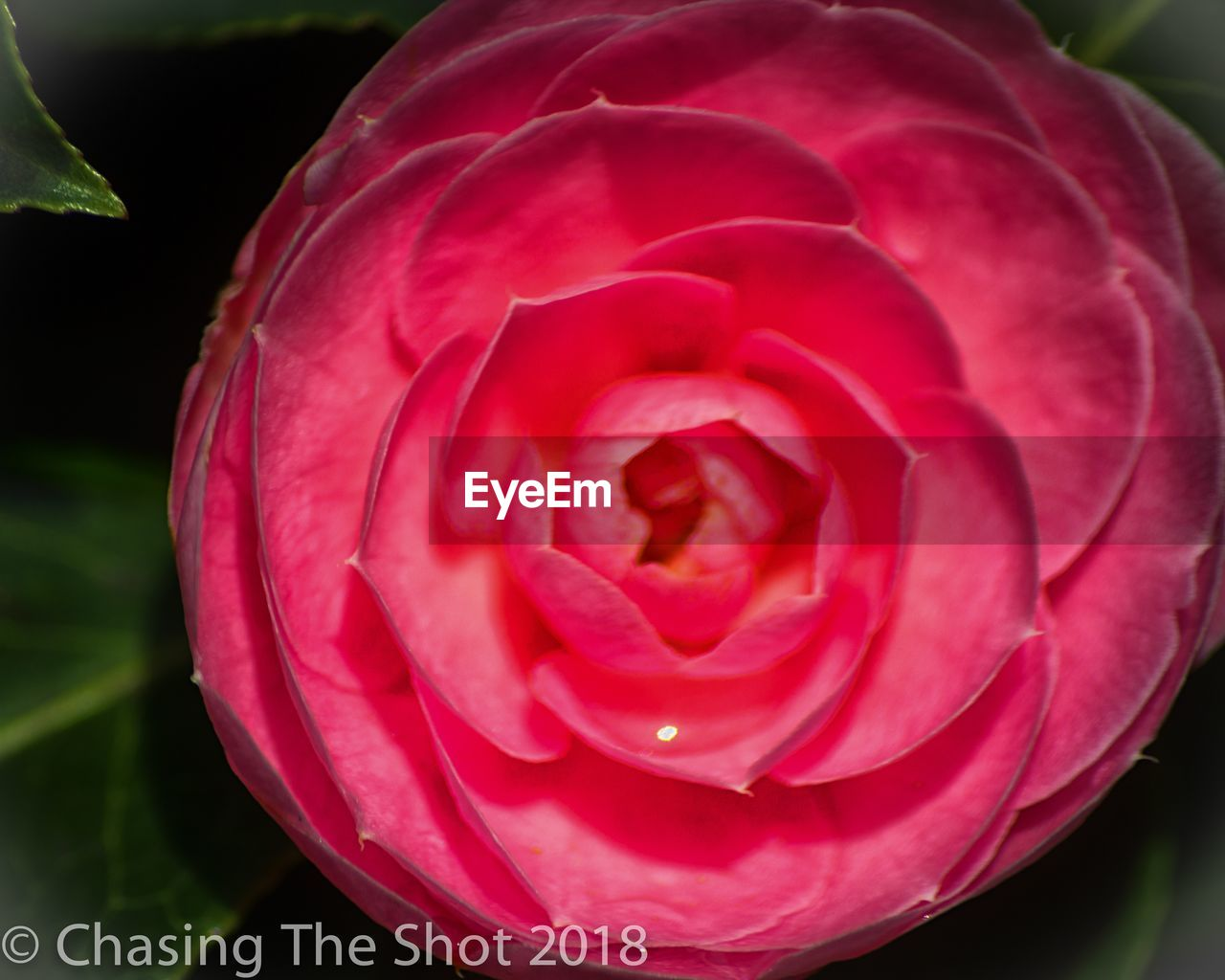 plant, beauty in nature, flowering plant, flower, inflorescence, freshness, petal, vulnerability, close-up, flower head, nature, growth, fragility, red, focus on foreground, rose, pink color, no people, rose - flower