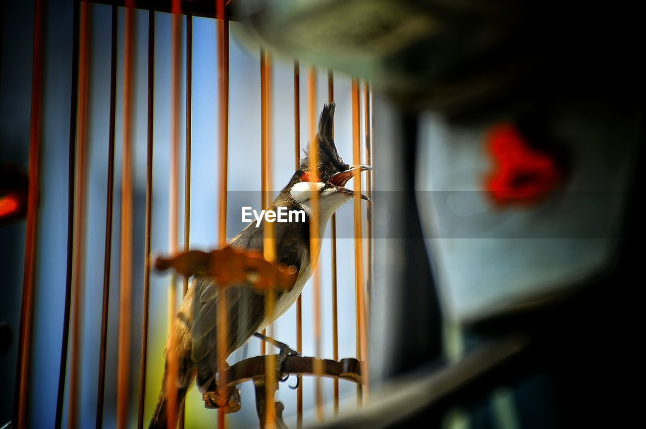 Close-Up Of Bulbul In Cage