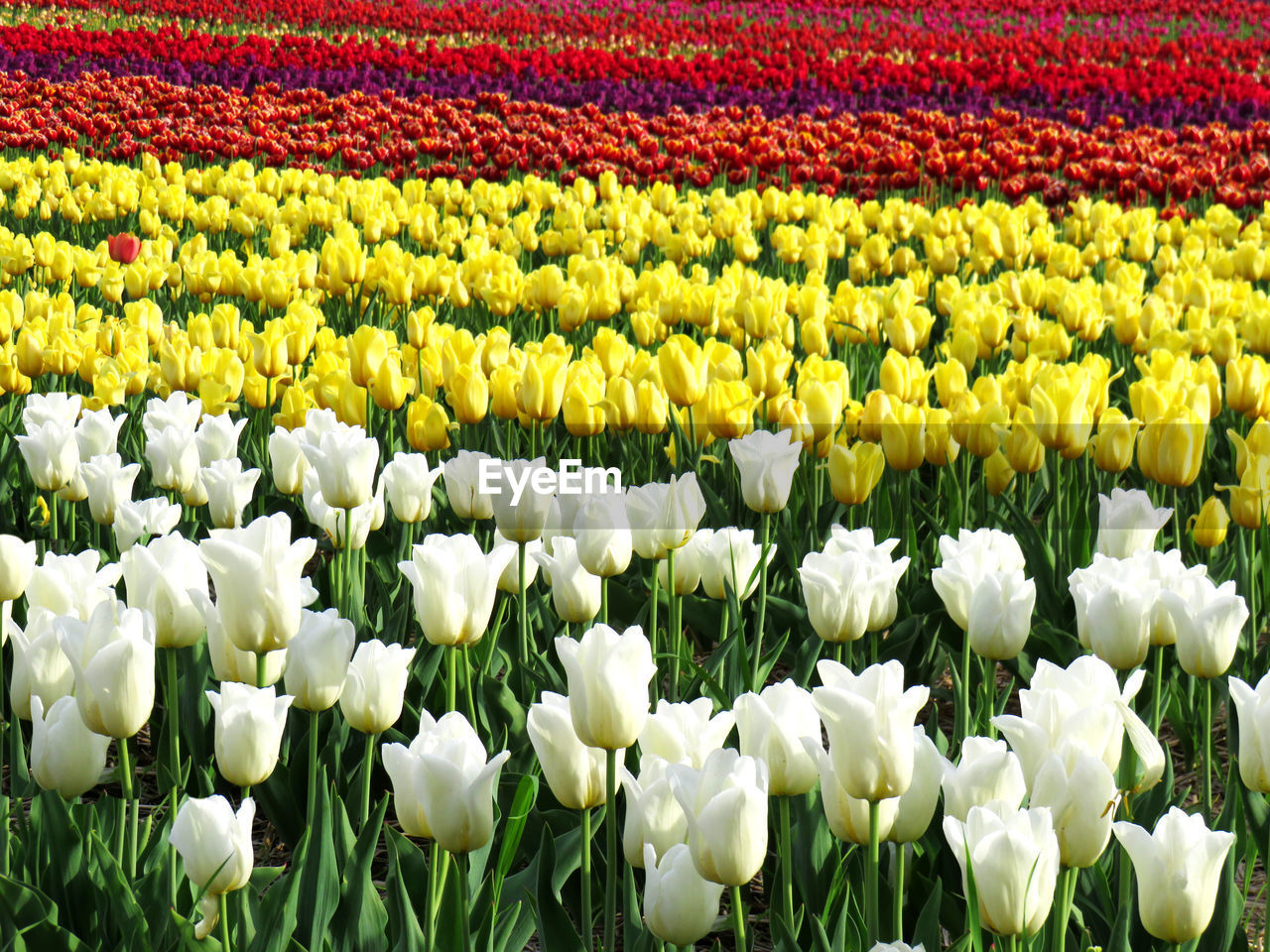 flower, flowering plant, beauty in nature, freshness, plant, tulip, field, fragility, vulnerability, white color, yellow, growth, nature, land, abundance, no people, day, petal, multi colored, agriculture, flowerbed, springtime, flower head, outdoors