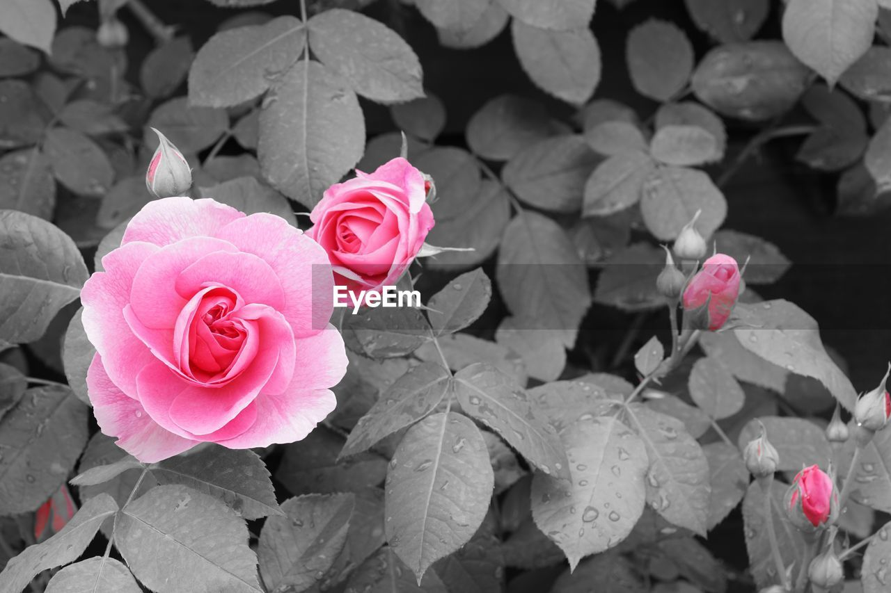 flower, petal, rose - flower, pink color, fragility, flower head, freshness, beauty in nature, growth, nature, no people, blooming, day, red, close-up, plant, outdoors, leaf, periwinkle