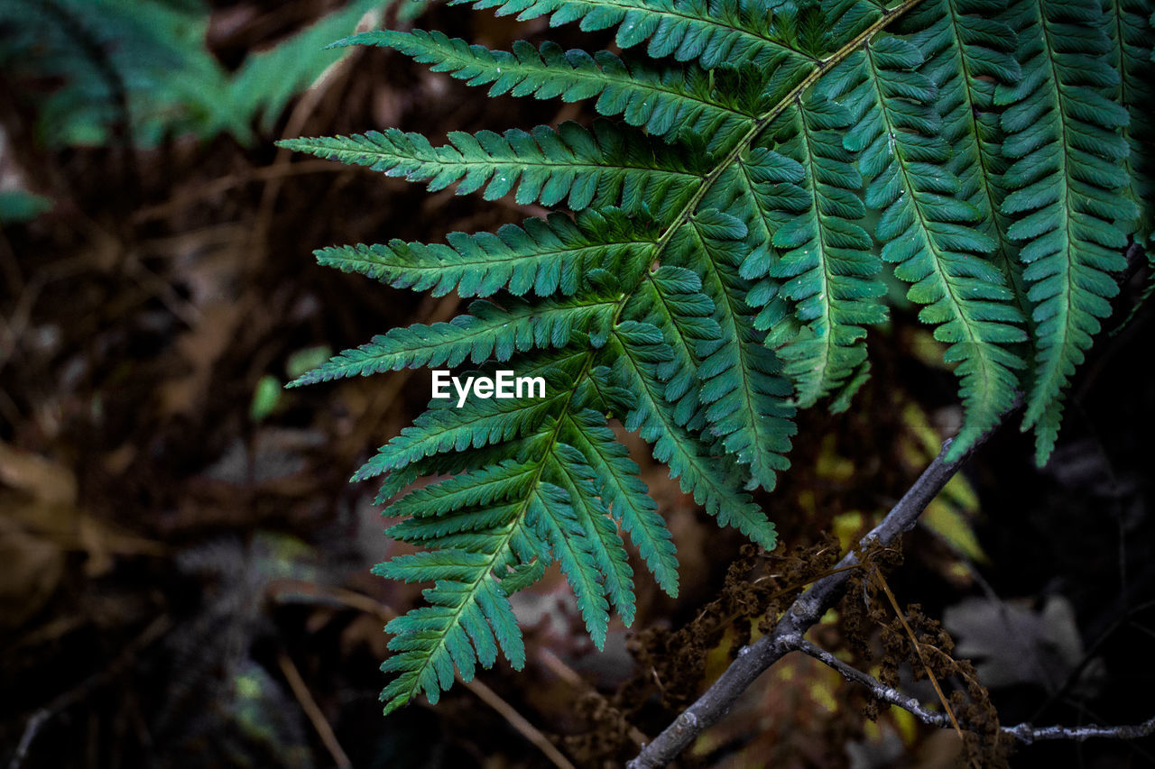 green color, plant, growth, close-up, nature, day, leaf, no people, plant part, focus on foreground, beauty in nature, fern, selective focus, tree, outdoors, land, freshness, natural pattern, pine tree, forest, coniferous tree