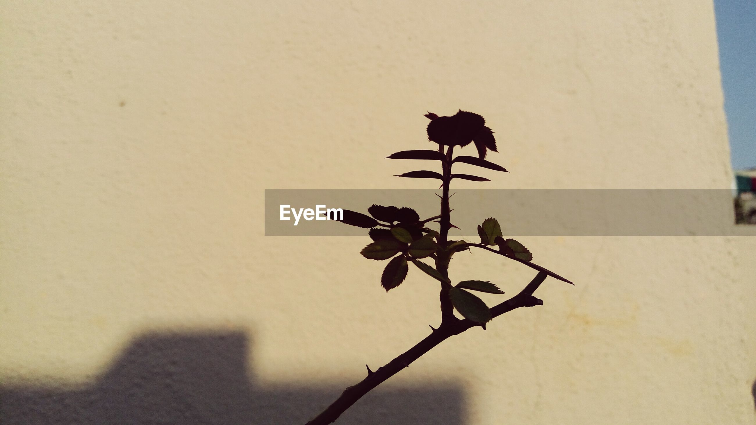 clear sky, wall - building feature, copy space, stem, shadow, nature, branch, no people, day, sunlight, plant, focus on foreground, outdoors, silhouette, close-up, built structure, growth, low angle view, wall, leaf