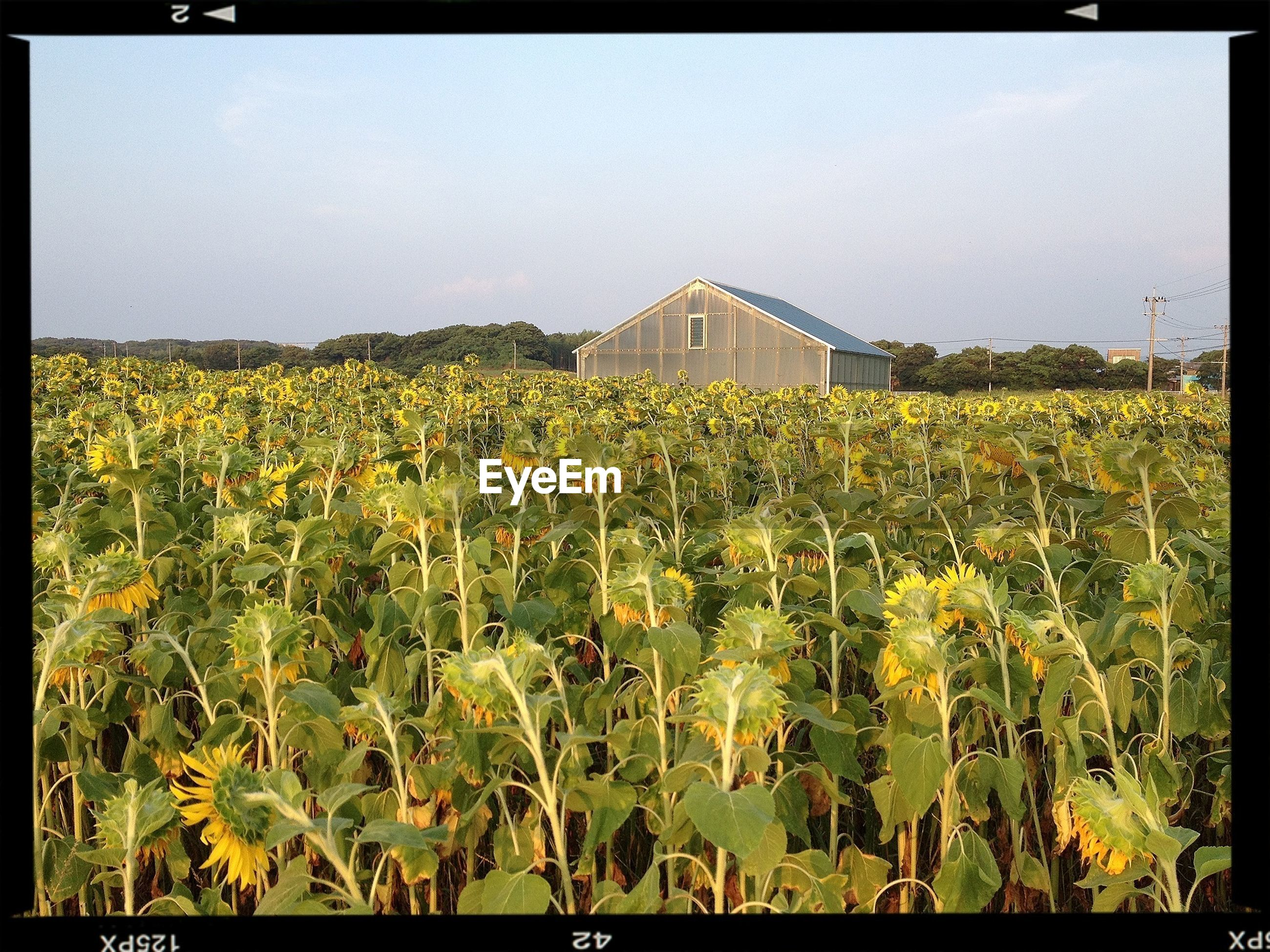 transfer print, flower, growth, auto post production filter, yellow, field, rural scene, agriculture, freshness, plant, nature, beauty in nature, sky, clear sky, building exterior, built structure, farm, architecture, outdoors, day