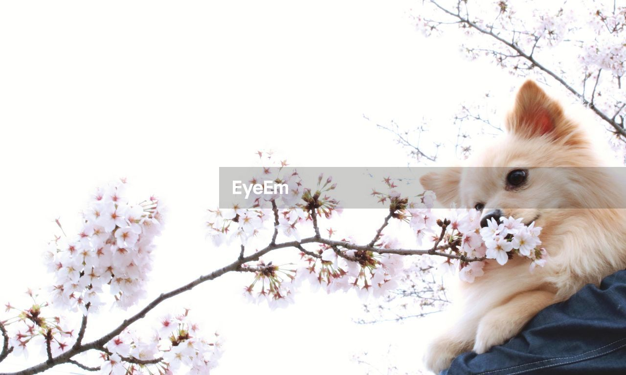 pets, one animal, animal themes, domestic animals, flower, dog, fragility, mammal, no people, tree, nature, clear sky, branch, springtime, beauty in nature, day, close-up, outdoors, freshness
