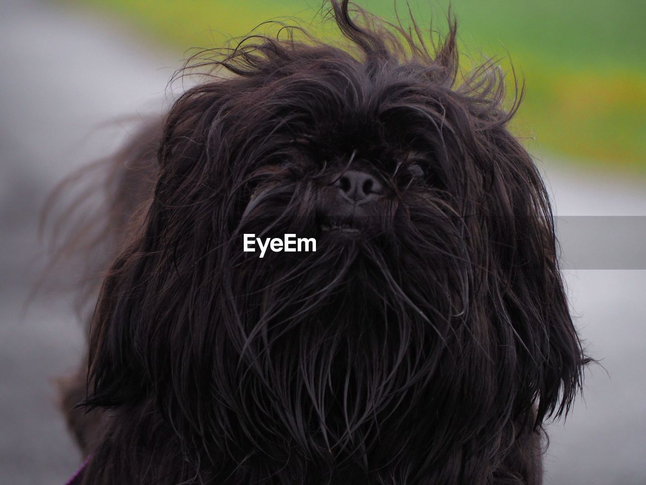 hair, animal hair, dog, one animal, canine, vertebrate, mammal, domestic, close-up, focus on foreground, domestic animals, pets, portrait, lap dog, black color, people, animal body part, small, hairstyle, shih tzu