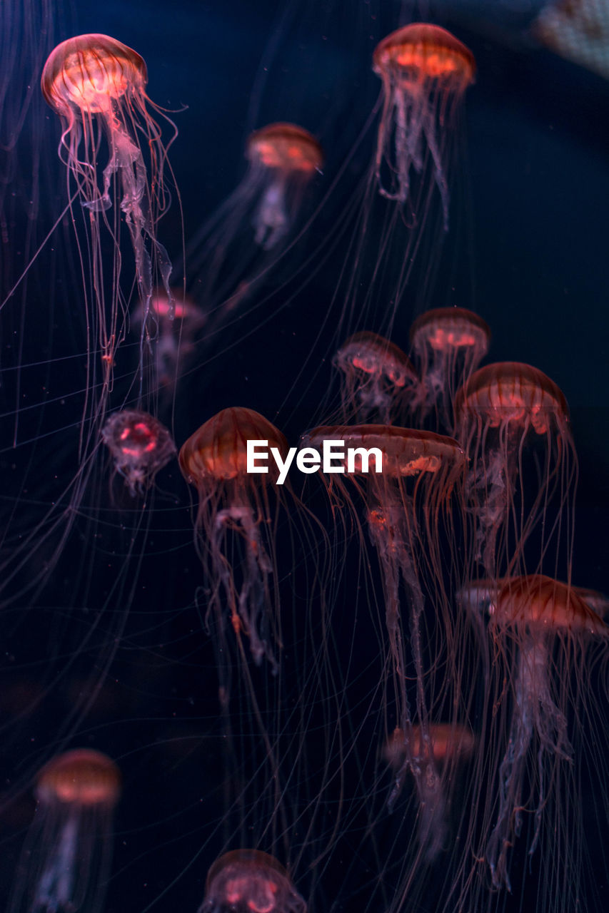 animal themes, sea, animal wildlife, marine, underwater, water, sea life, animals in the wild, animal, swimming, invertebrate, no people, close-up, group of animals, jellyfish, undersea, indoors, transparent, nature, black background, floating on water, school of fish