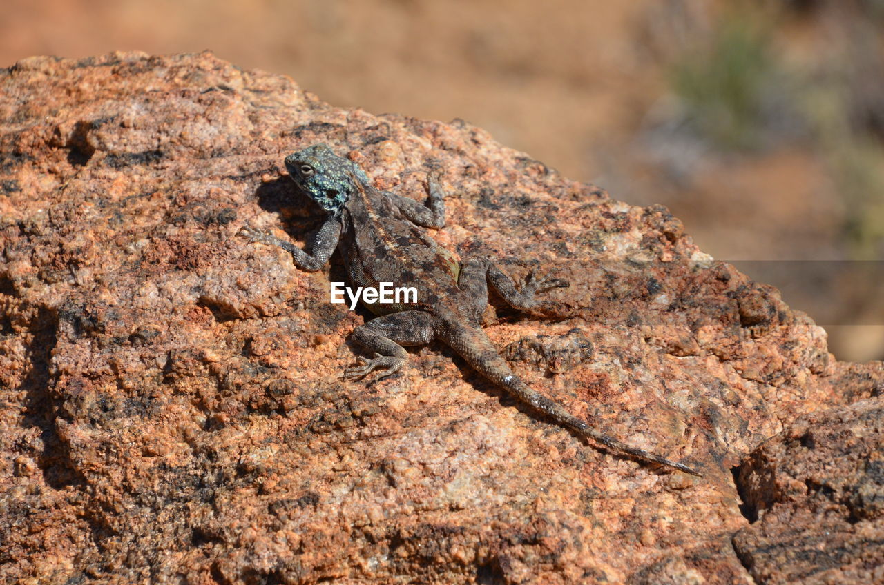 reptile, lizard, animal, animal themes, animal wildlife, animals in the wild, one animal, vertebrate, no people, rock, rock - object, solid, nature, close-up, day, focus on foreground, camouflage, textured, outdoors, chameleon, arid climate, animal scale, iguana