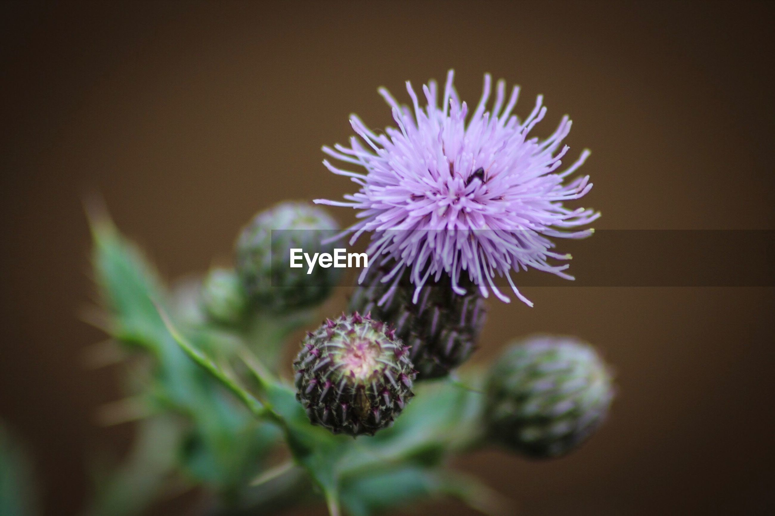 CLOSE-UP OF THISTLE FLOWERS