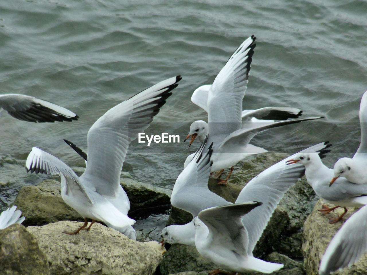 animal wildlife, animal themes, group of animals, bird, animals in the wild, animal, vertebrate, flying, spread wings, no people, water, large group of animals, white color, day, nature, seagull, motion, sea, flock of birds, flapping