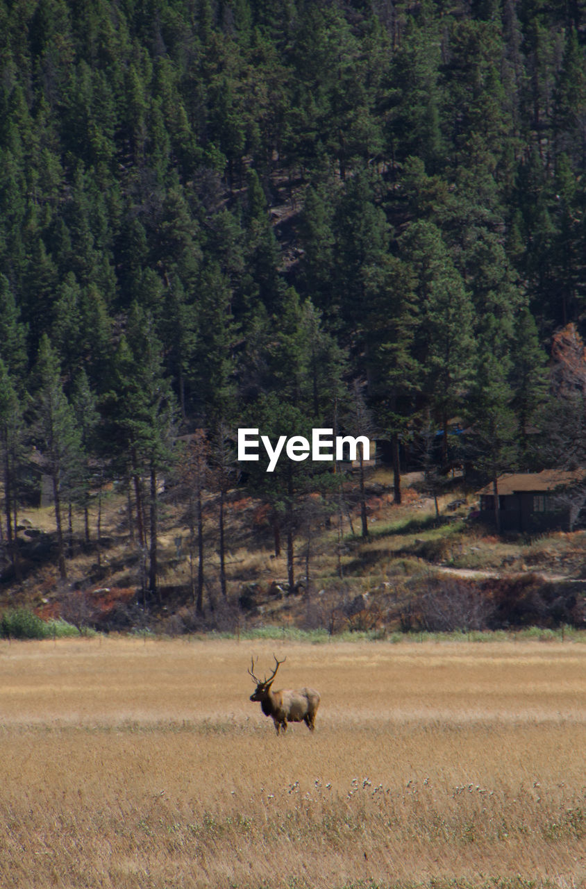 Elk standing on grassy field against trees