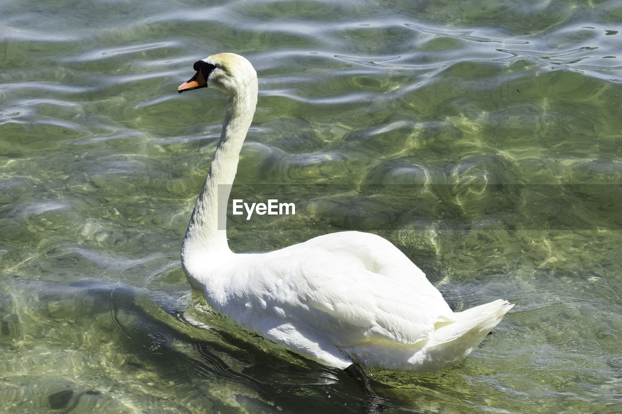 HIGH ANGLE VIEW OF SWAN FLOATING IN LAKE