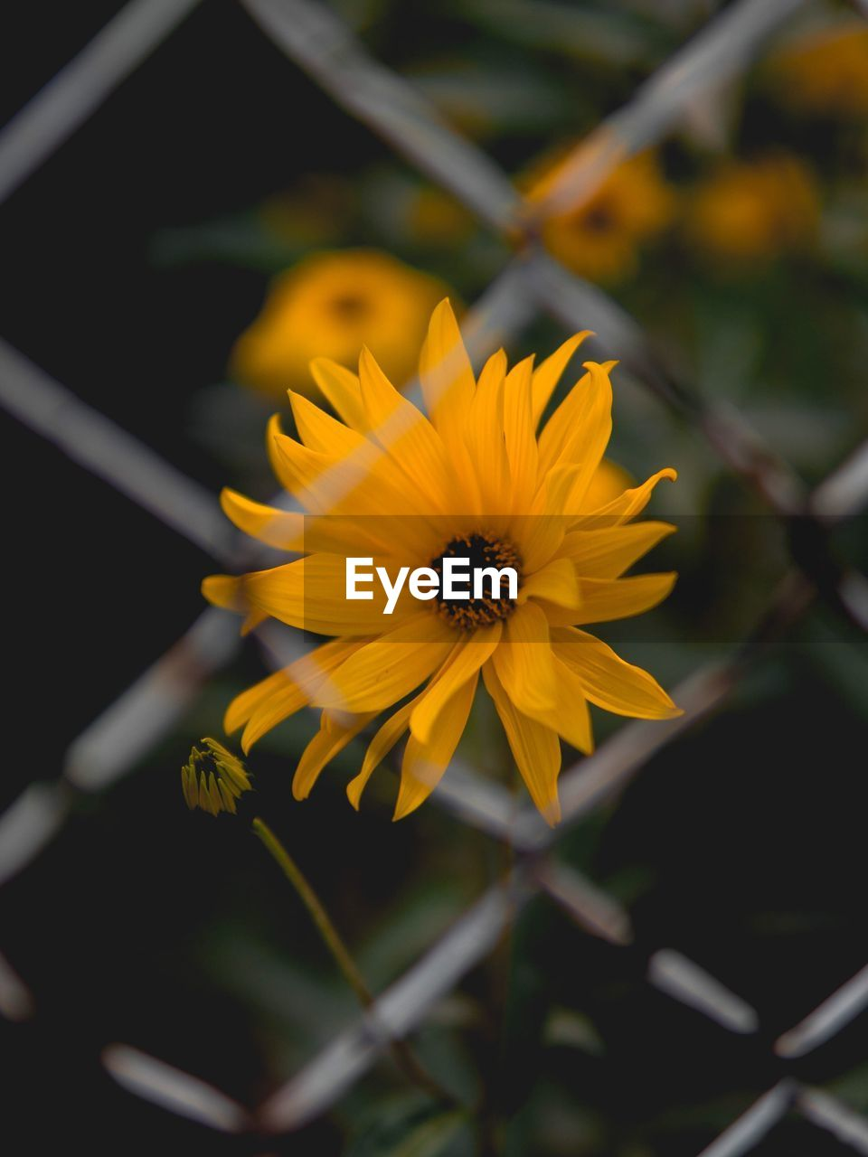 flower, petal, fragility, yellow, nature, flower head, beauty in nature, freshness, growth, plant, outdoors, no people, close-up, day, blooming, animal themes, black-eyed susan