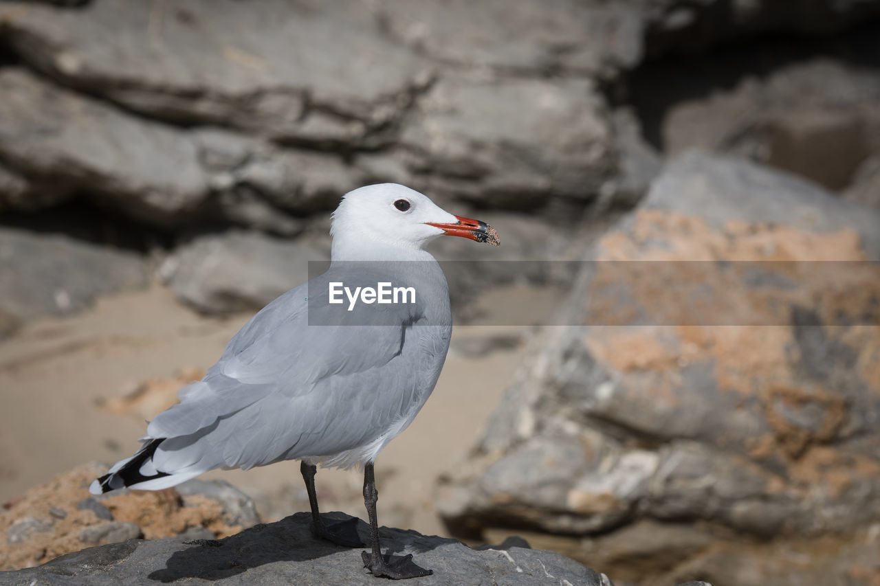 bird, animal themes, vertebrate, animals in the wild, animal, animal wildlife, one animal, solid, rock, rock - object, seagull, perching, focus on foreground, day, no people, nature, full length, white color, sea bird, close-up, outdoors