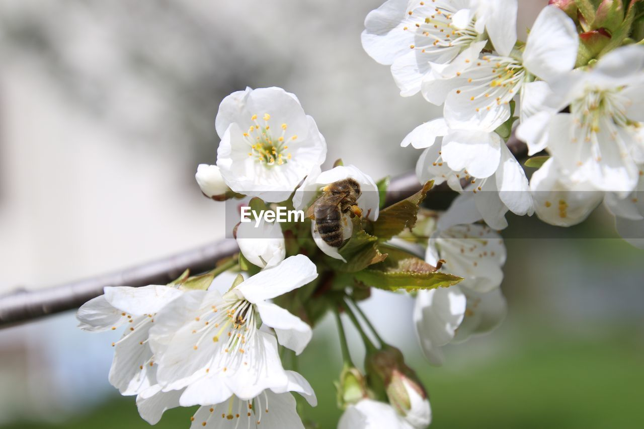 Close-up of bee pollinating on white flowers