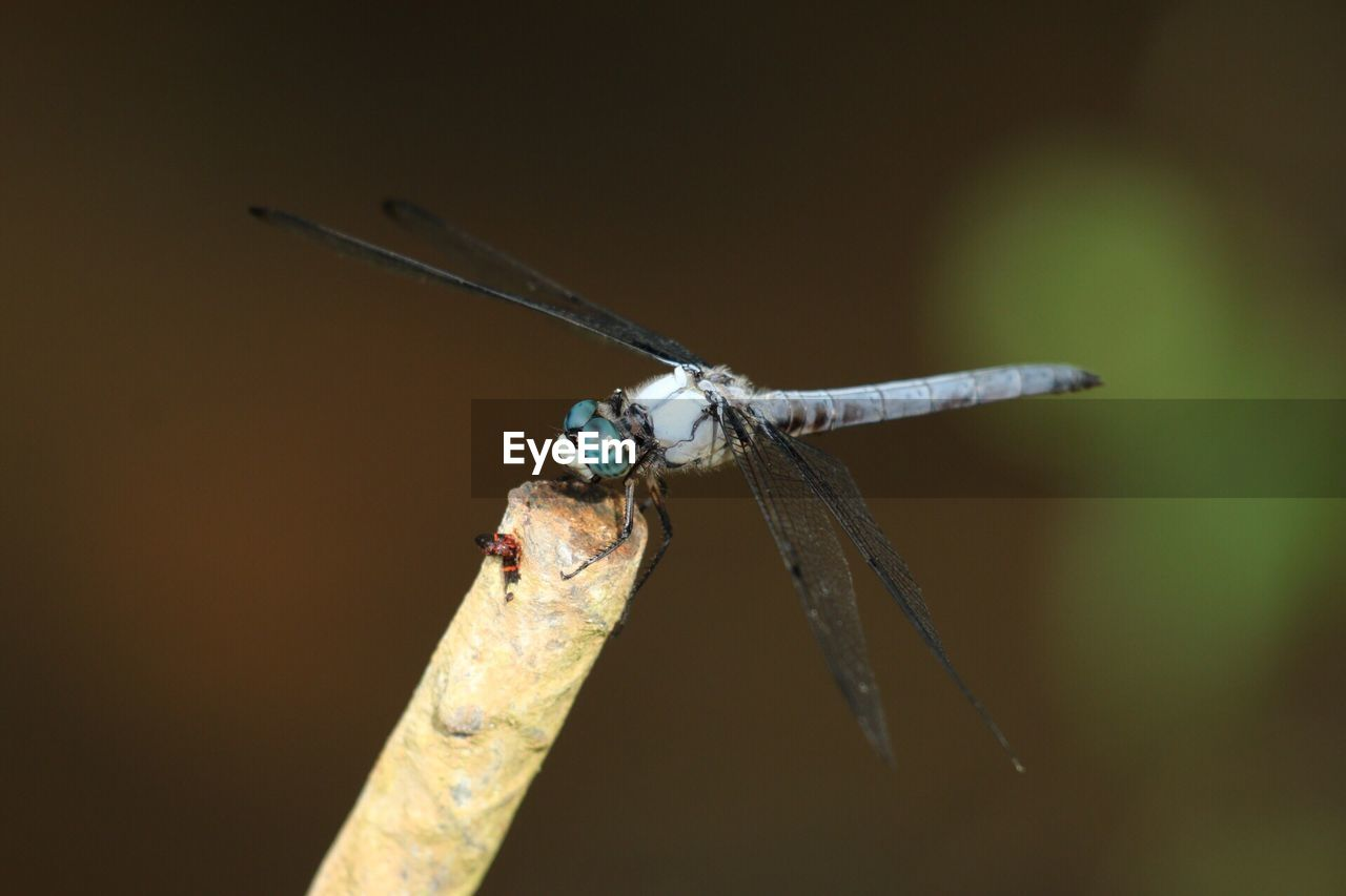 insect, invertebrate, animals in the wild, animal, animal wildlife, animal themes, one animal, close-up, focus on foreground, animal wing, day, dragonfly, no people, nature, selective focus, outdoors, plant, zoology, twig, animal body part, animal eye