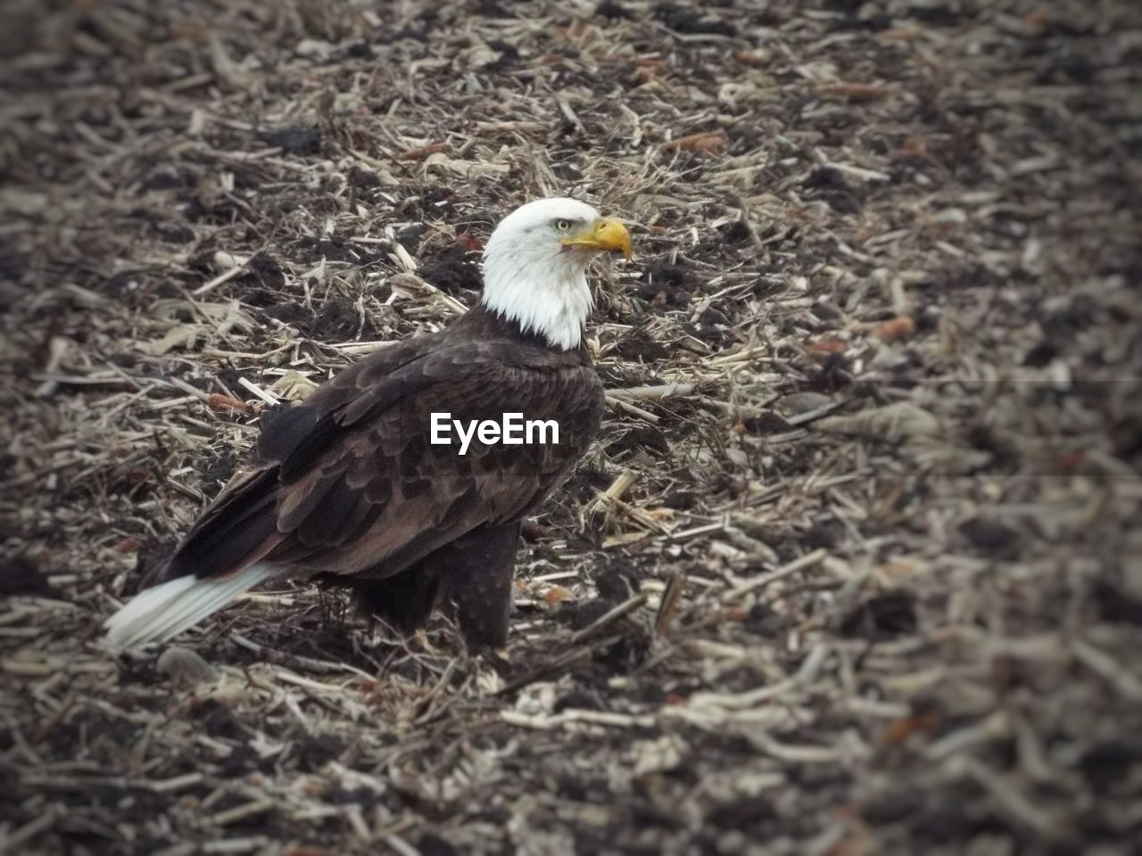 bird, animal, vertebrate, animal themes, animal wildlife, one animal, animals in the wild, land, nature, day, field, no people, perching, bird of prey, eagle, close-up, outdoors, beak, young animal, side view