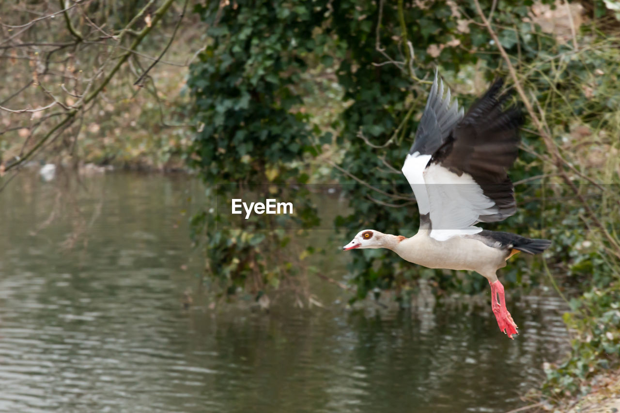Side view of egyptian goose flying over lake